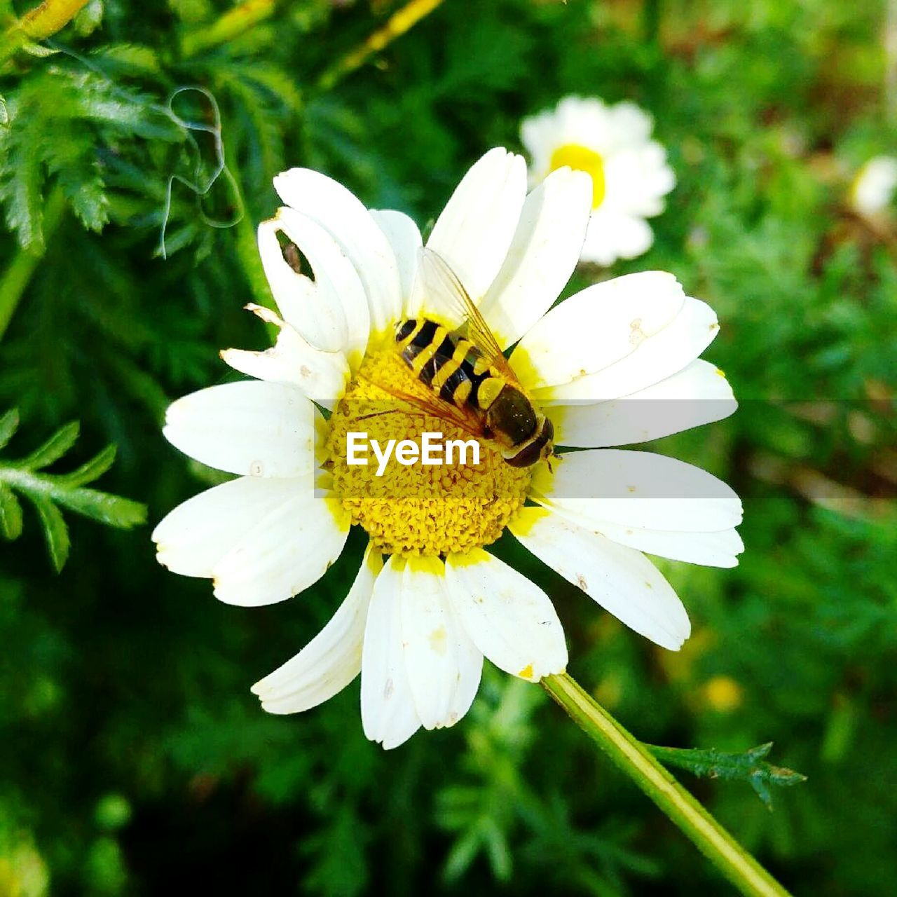 flower, petal, nature, flower head, beauty in nature, white color, fragility, growth, freshness, animal themes, one animal, pollen, plant, day, insect, outdoors, no people, animals in the wild, yellow, close-up, blooming, bee, pollination