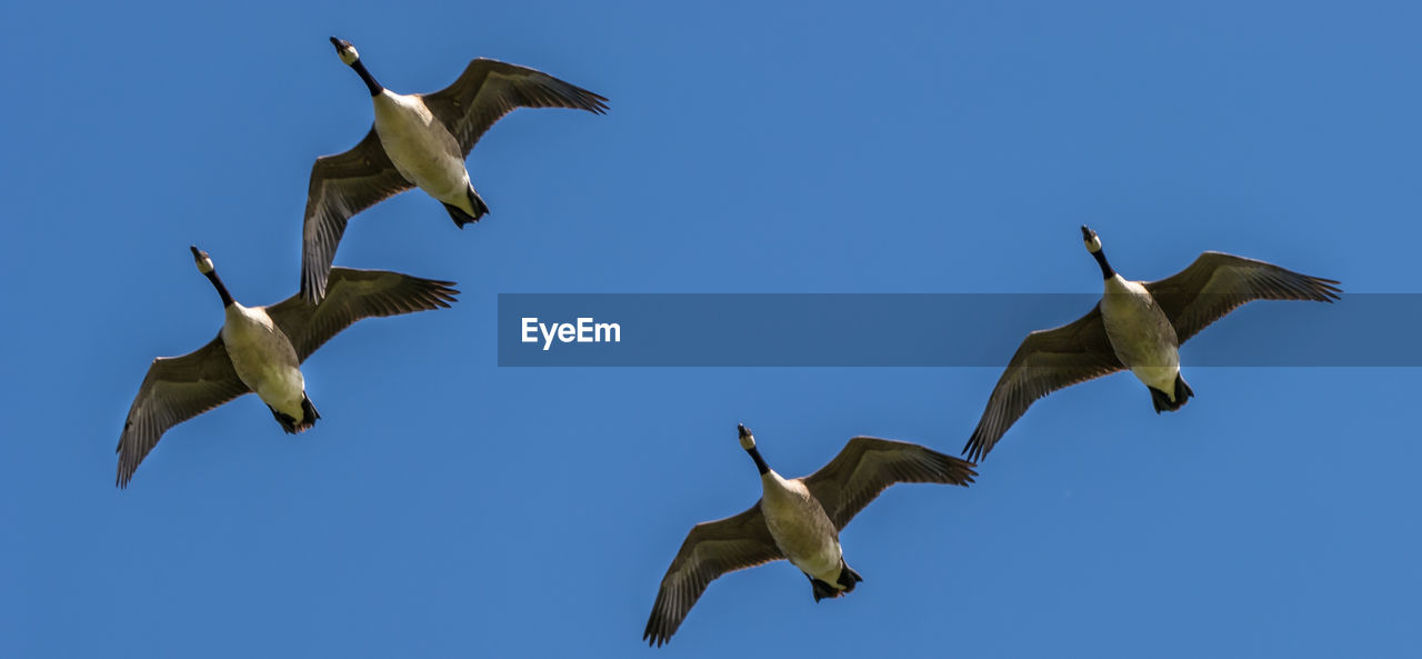 flying, spread wings, sky, animals in the wild, animal wildlife, animal themes, blue, low angle view, group of animals, no people, animal, clear sky, bird, vertebrate, mid-air, nature, day, motion, copy space, outdoors, seagull, flock of birds