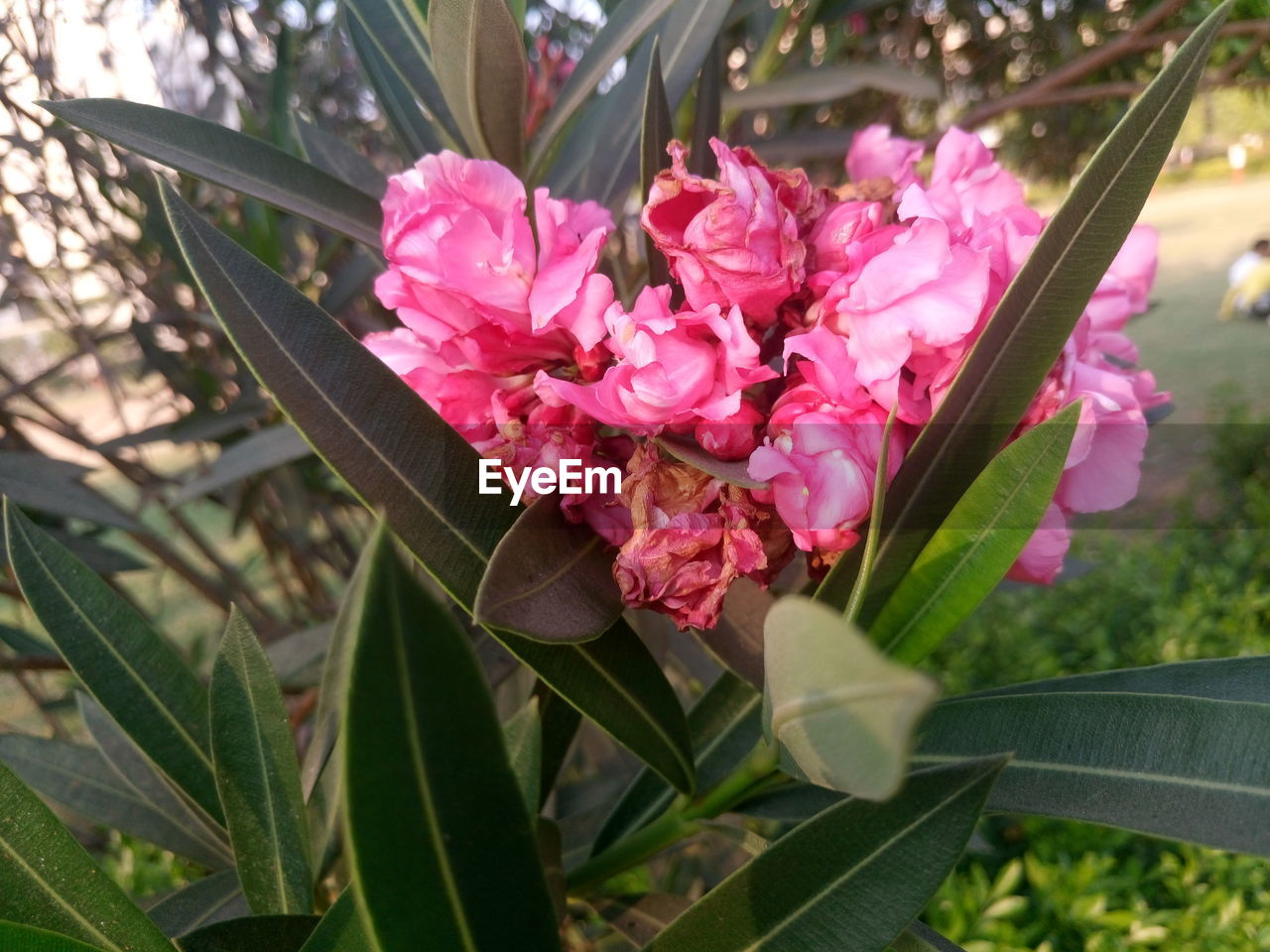 flower, pink color, growth, nature, beauty in nature, petal, plant, no people, outdoors, leaf, fragility, blooming, flower head, freshness, day, close-up