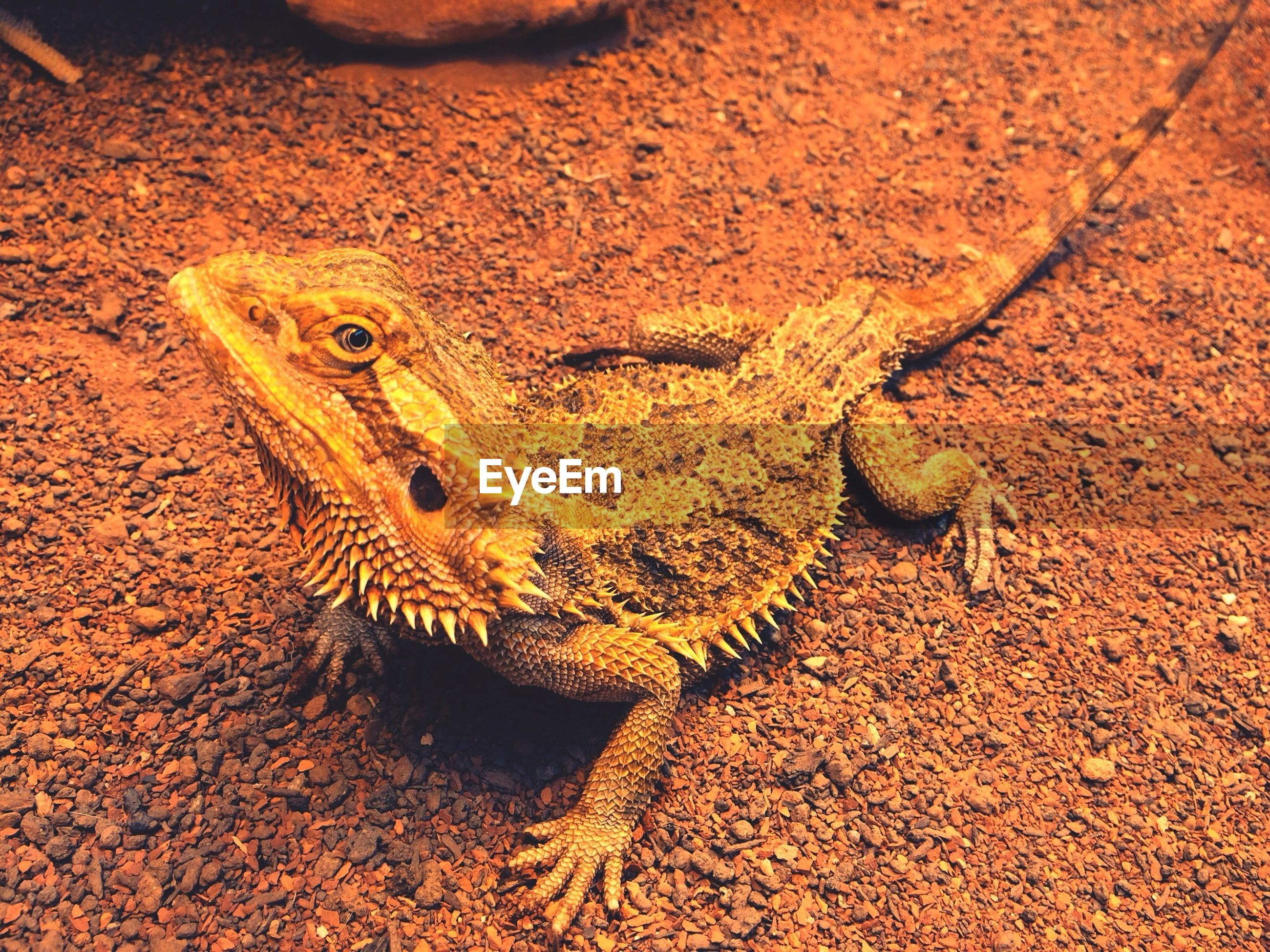 animal themes, animals in the wild, one animal, wildlife, reptile, lizard, close-up, nature, high angle view, outdoors, day, no people, natural pattern, sand, animal head, side view, sunlight, focus on foreground, field, beauty in nature