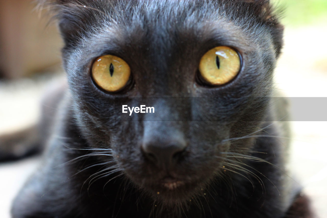 one animal, animal themes, mammal, animal, portrait, close-up, looking at camera, animal body part, no people, focus on foreground, vertebrate, pets, domestic animals, day, whisker, animal head, domestic, animal eye, cat, domestic cat, yellow eyes, snout, animal nose