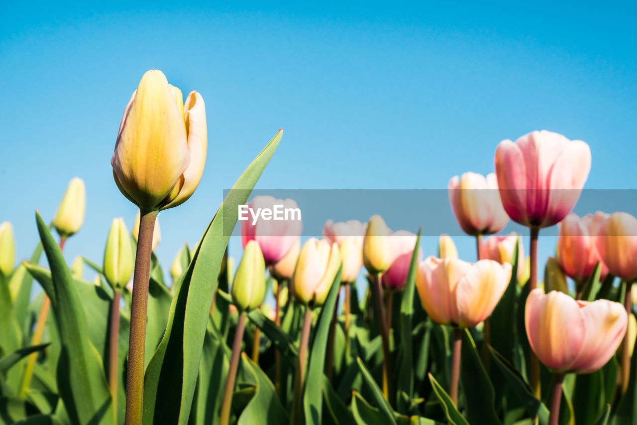 Close-Up Of Flowers Growing In Field Against Clear Sky