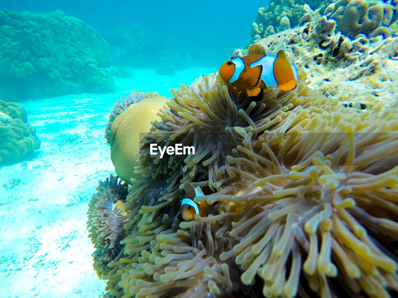 clown fish, underwater, sea anemone, undersea, symbiotic relationship, sea life, fish, sea, coral, animal themes, animals in the wild, water, animal wildlife, nature, no people, beauty in nature, close-up, mammal, outdoors, day