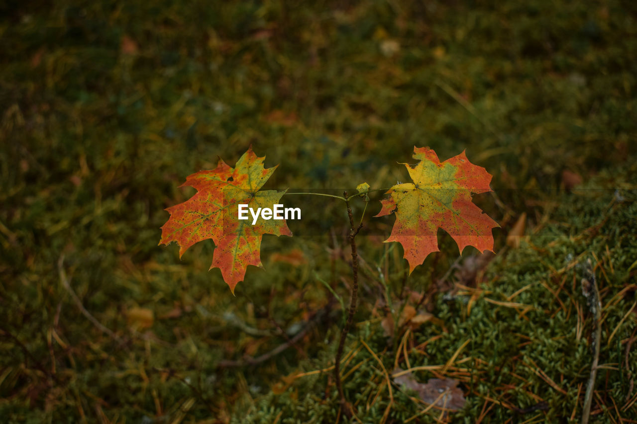 plant, leaf, autumn, plant part, nature, growth, close-up, change, no people, beauty in nature, maple leaf, day, land, focus on foreground, field, outdoors, tree, selective focus, green color, orange color, leaves, natural condition
