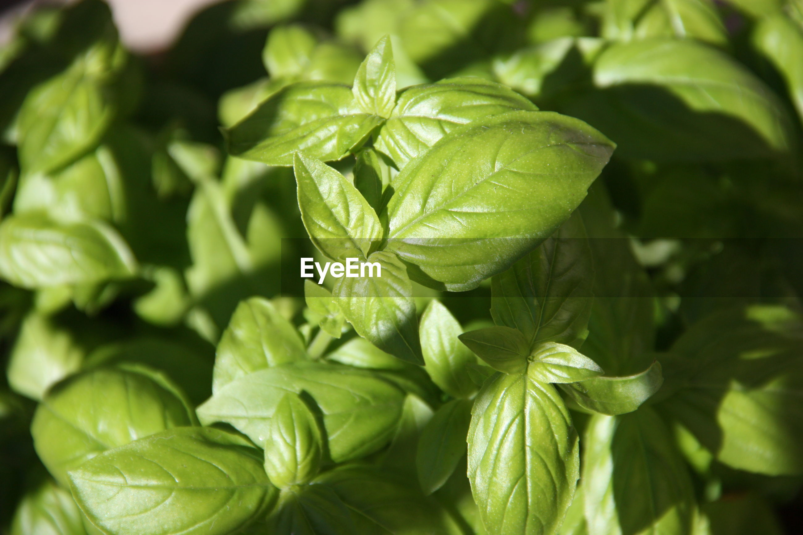 CLOSE-UP OF FRESH GREEN LEAVES IN PLANT