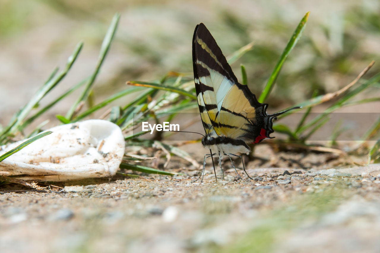 invertebrate, animals in the wild, insect, animal, selective focus, animal themes, animal wildlife, one animal, animal wing, close-up, day, no people, butterfly - insect, beauty in nature, nature, outdoors, land, field, animal body part, animal antenna, surface level
