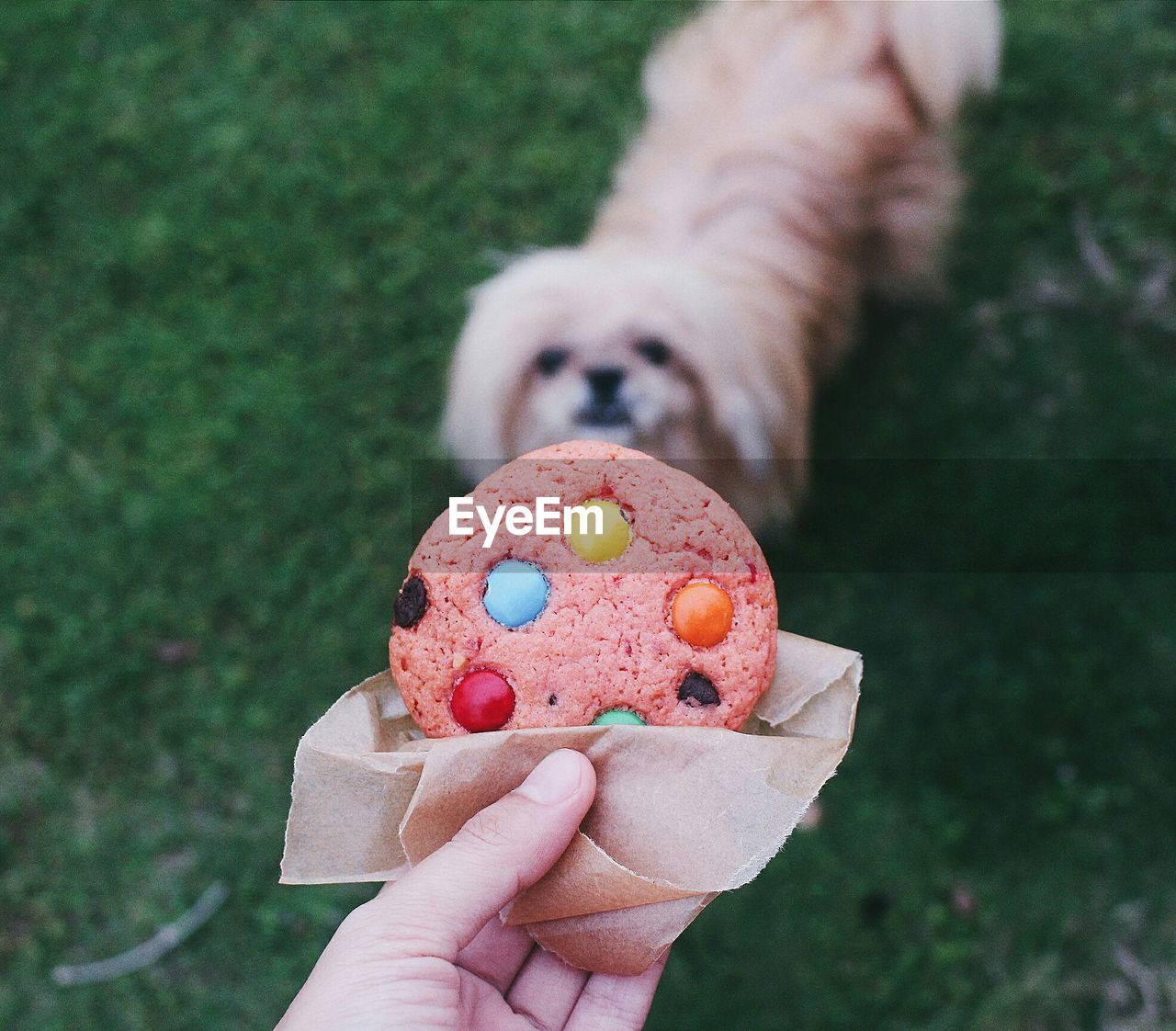 Cropped image of person holding cookie against shih tzu puppy