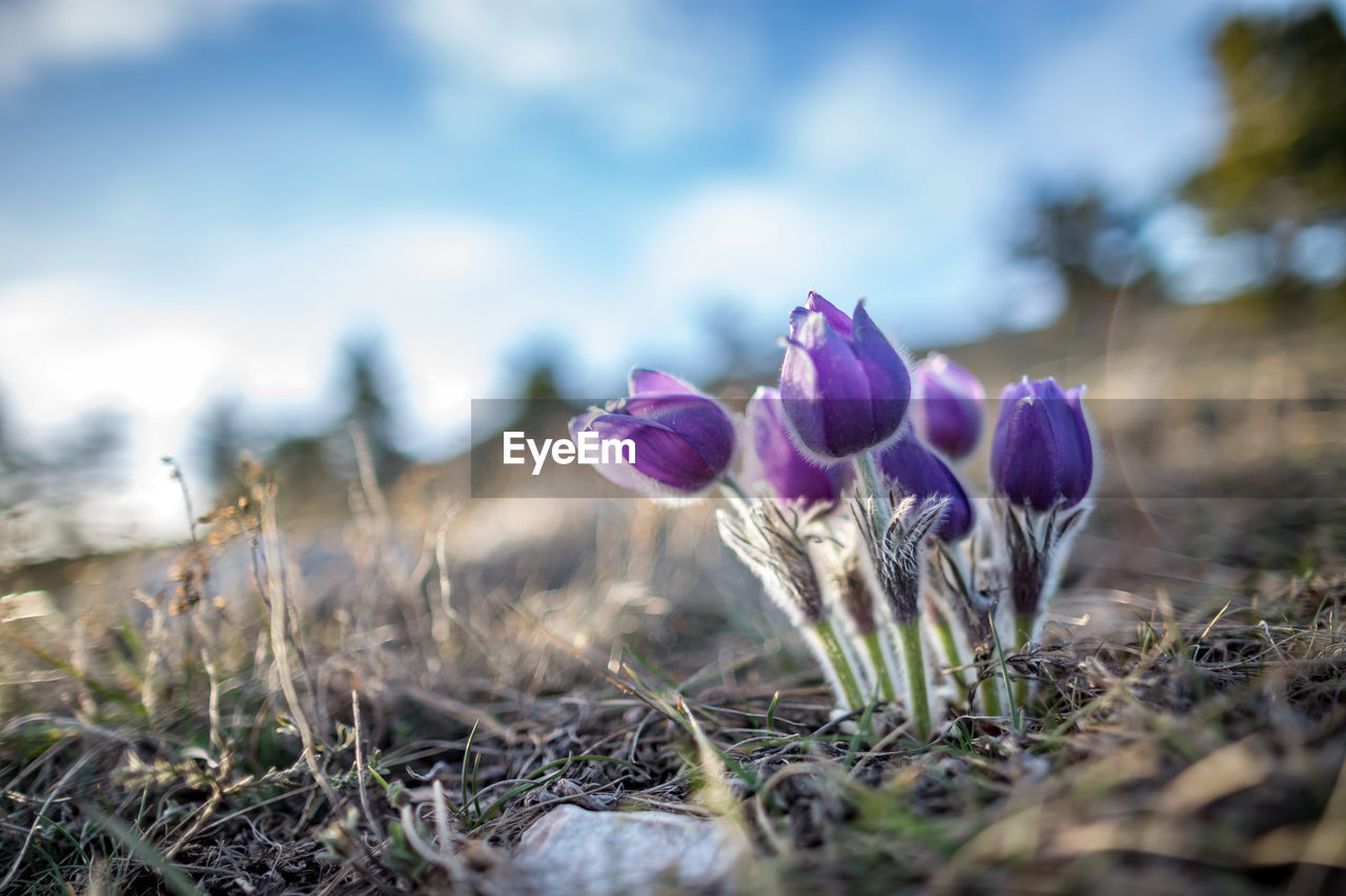 plant, flowering plant, flower, growth, beauty in nature, vulnerability, fragility, field, freshness, selective focus, land, nature, close-up, purple, day, no people, iris, petal, inflorescence, flower head, crocus, outdoors, surface level