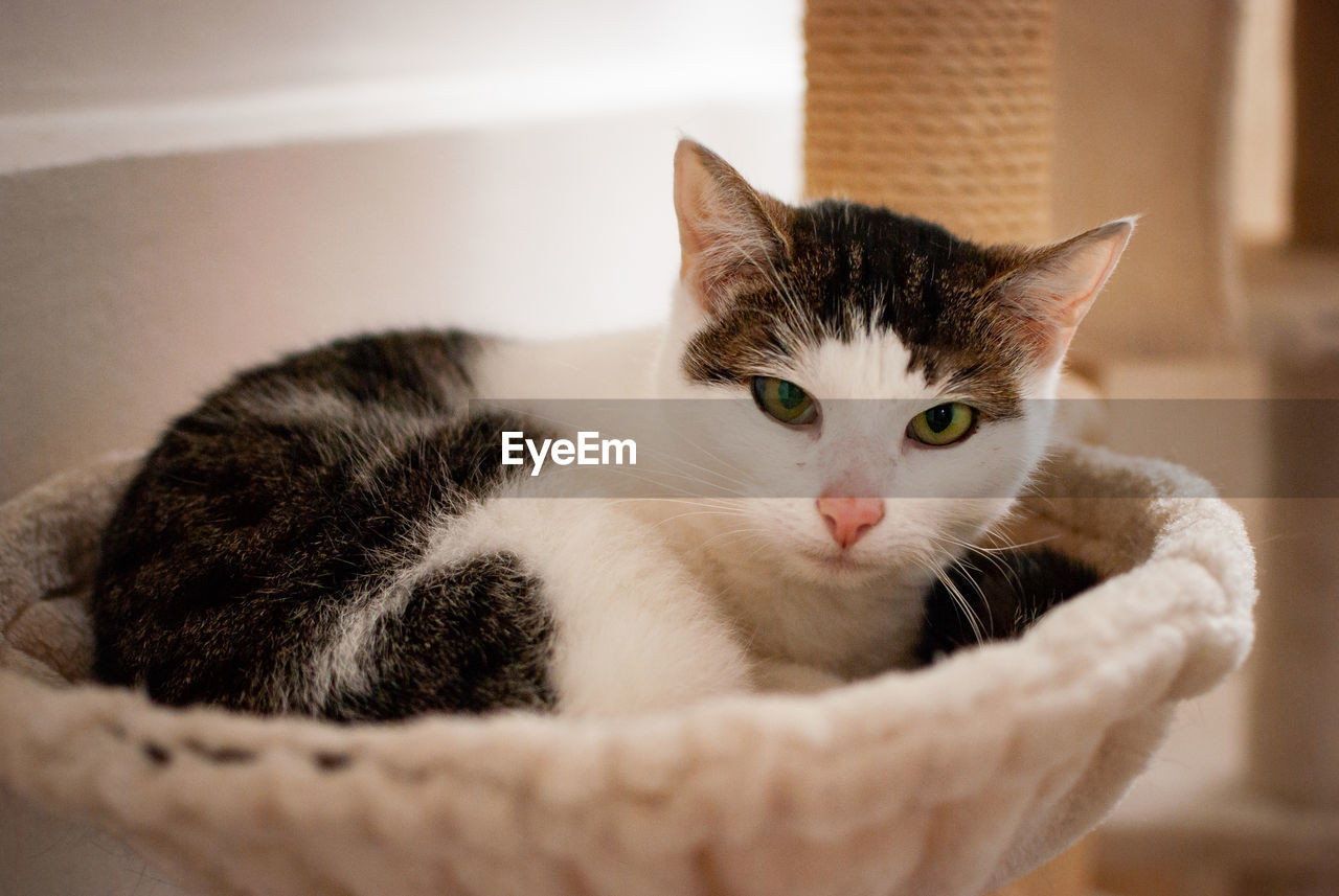 cat, domestic cat, feline, pets, domestic animals, domestic, mammal, animal, animal themes, one animal, vertebrate, indoors, portrait, whisker, no people, relaxation, looking at camera, home interior, close-up, selective focus, animal eye