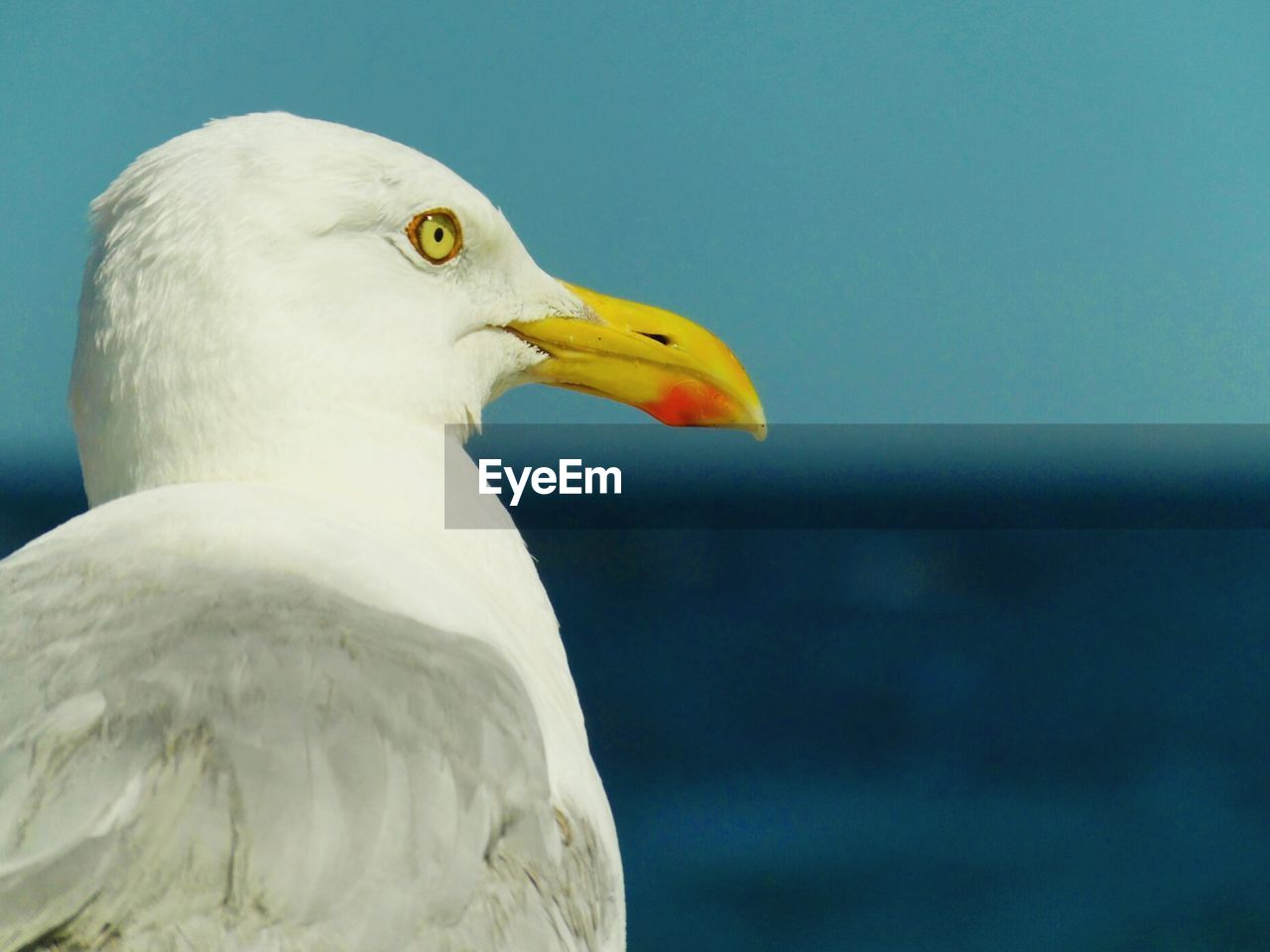bird, animal themes, animal, vertebrate, animal wildlife, animals in the wild, one animal, close-up, focus on foreground, seagull, day, no people, nature, beak, white color, sea, water, yellow, outdoors, animal head, eagle, profile view