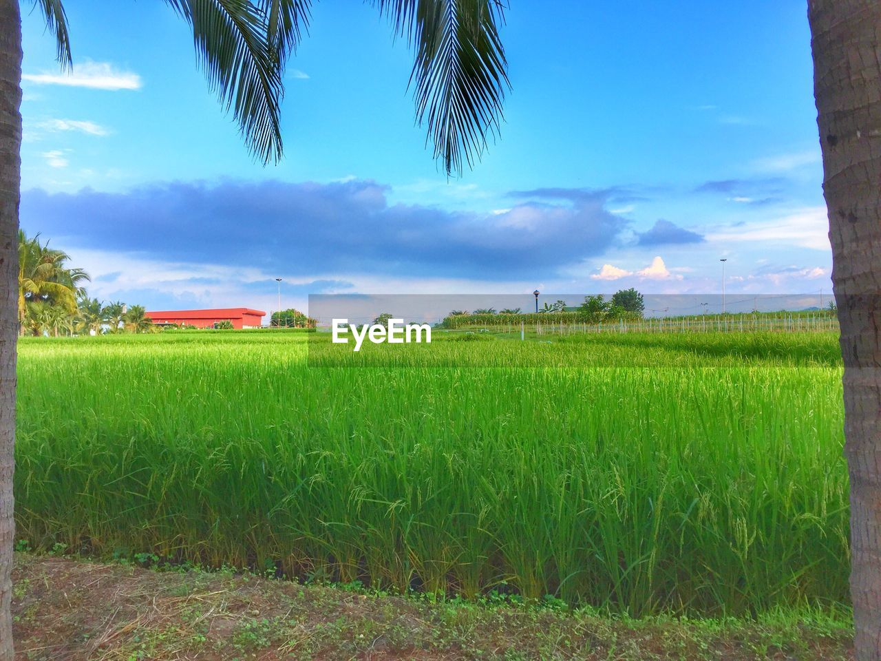 field, agriculture, tranquil scene, sky, growth, tranquility, nature, beauty in nature, scenics, farm, grass, landscape, green color, rural scene, tree, crop, no people, cloud - sky, cultivated land, idyllic, day, outdoors, plant, cereal plant, blue, wheat, rice paddy