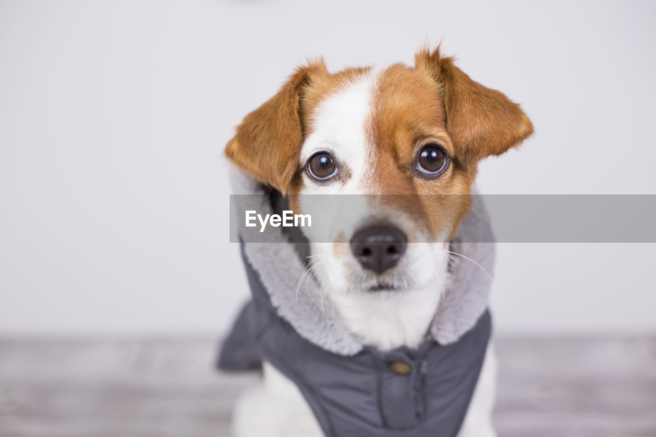 Close-up portrait of dog sitting against white background
