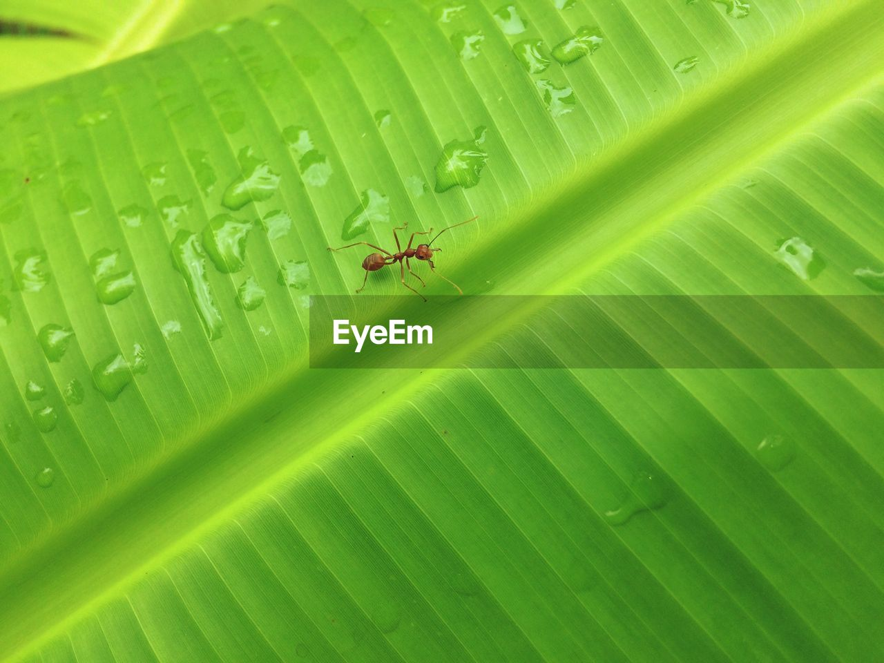 Close-Up Of Red Ant On Wet Leaf