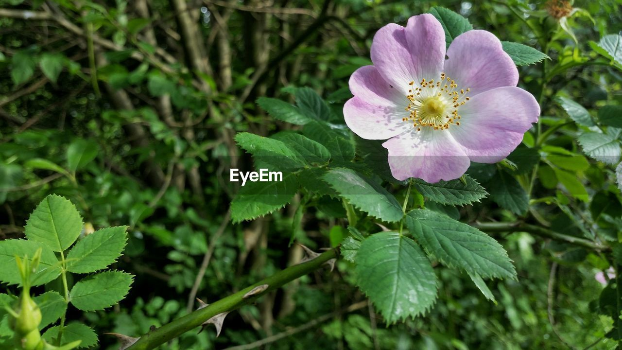 Close-up of pink dog rose flower