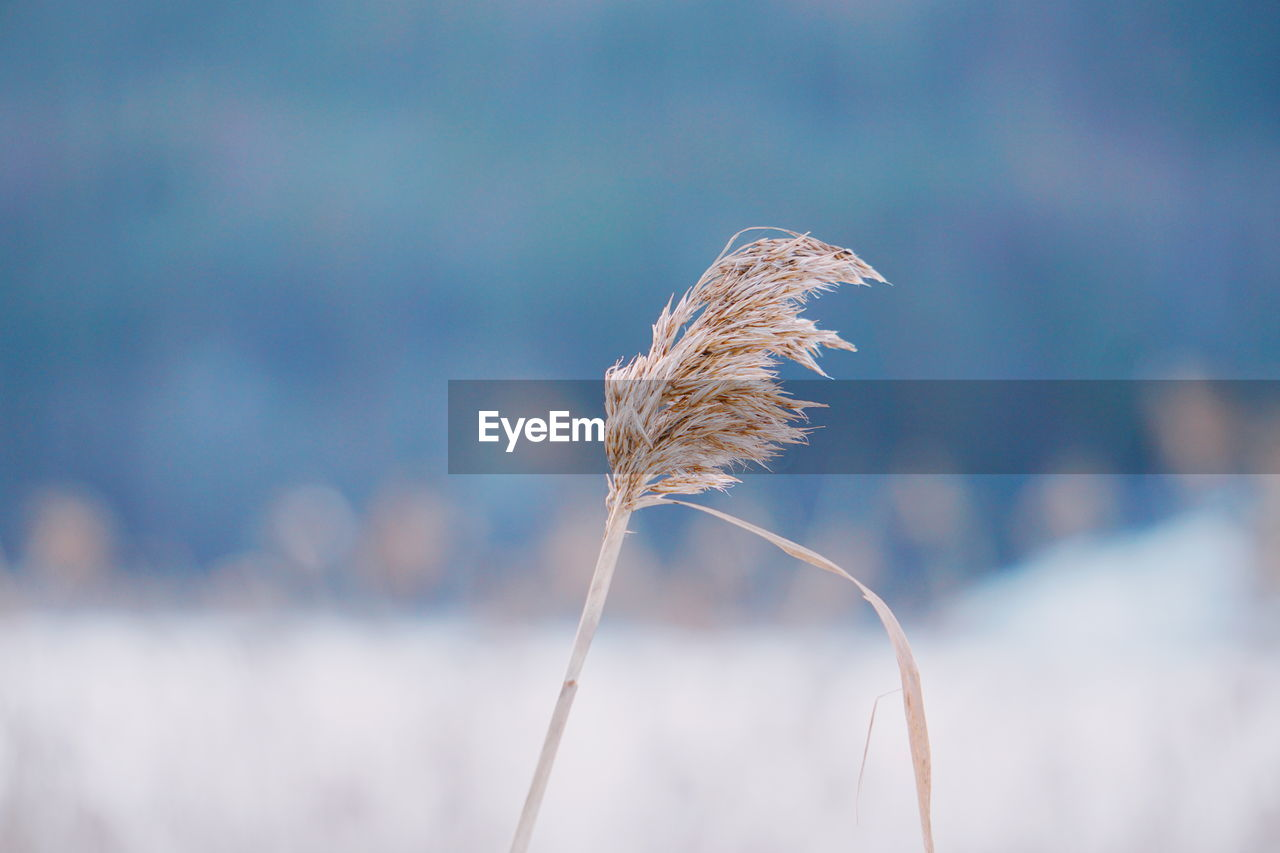 Close-Up Of Wheat Plant On Field Against Sky