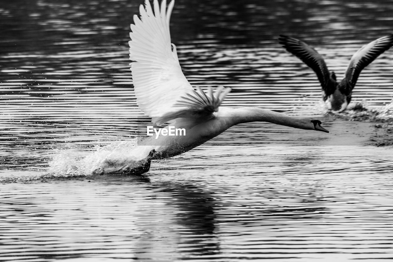 flying, bird, animals in the wild, vertebrate, animal wildlife, animal themes, water, animal, spread wings, waterfront, one animal, lake, motion, flapping, no people, animal wing, nature, day, water bird, outdoors, seagull