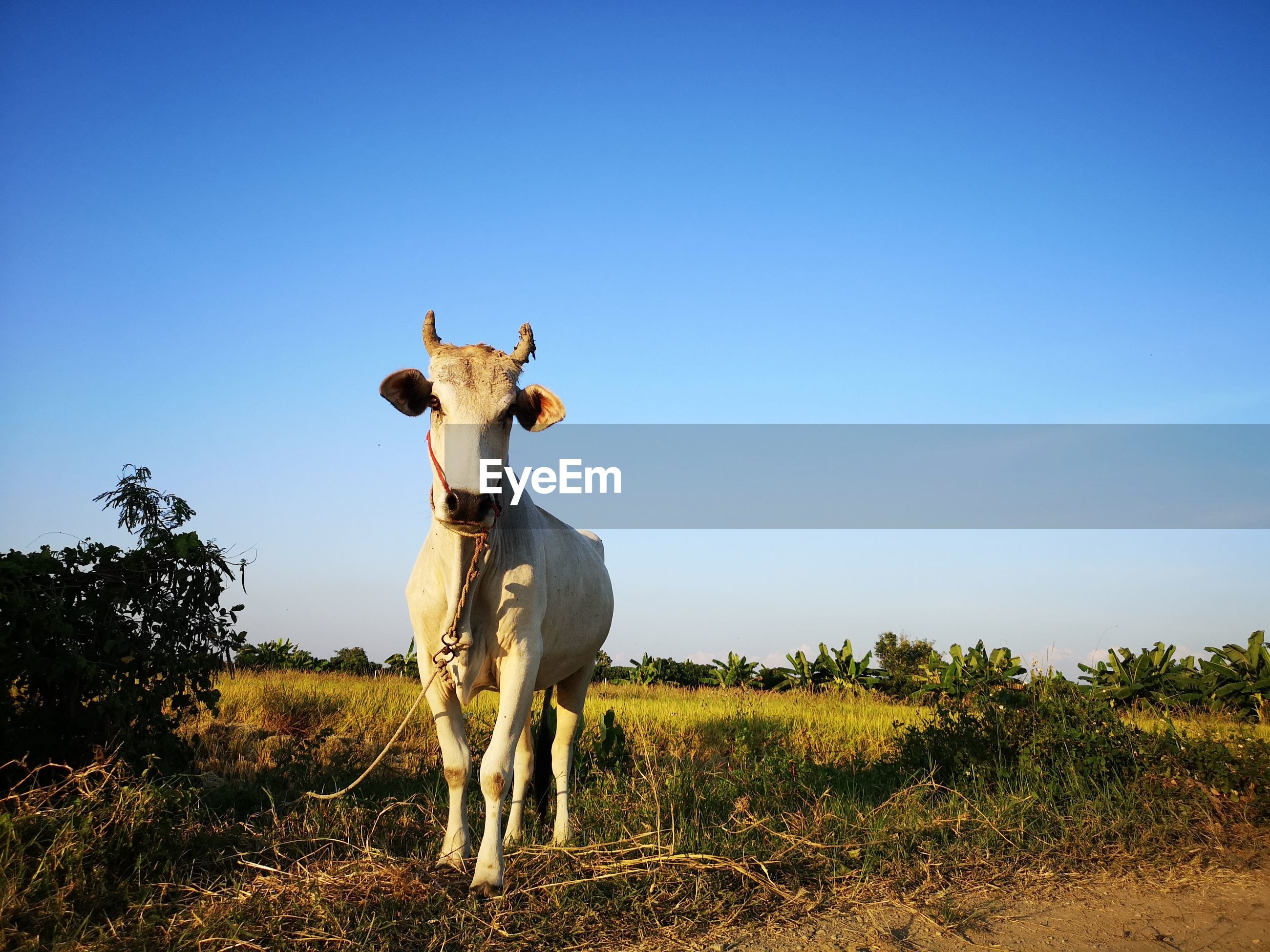 View of cow on field against sky