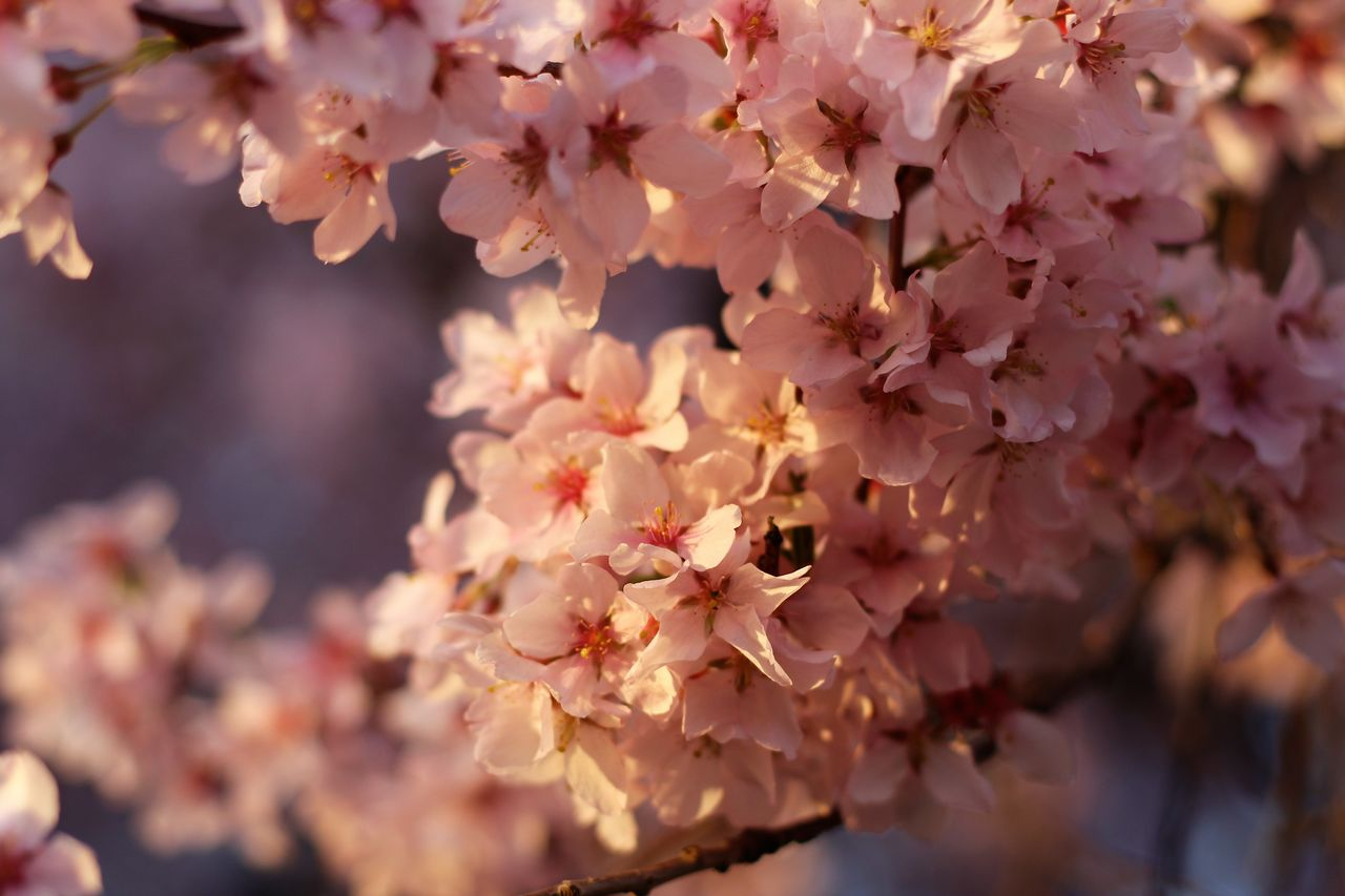 flower, flowering plant, fragility, plant, beauty in nature, vulnerability, growth, freshness, close-up, petal, blossom, tree, springtime, pink color, nature, day, branch, no people, selective focus, focus on foreground, cherry blossom, outdoors, flower head, cherry tree, bunch of flowers, spring