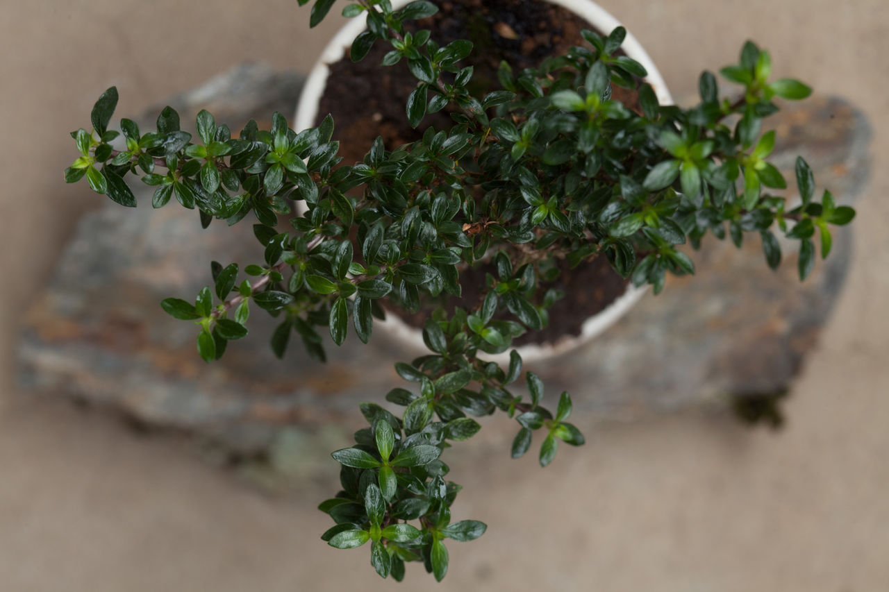 plant, growth, green color, close-up, leaf, no people, plant part, nature, beauty in nature, focus on foreground, selective focus, day, freshness, outdoors, food, potted plant, herb, food and drink, high angle view