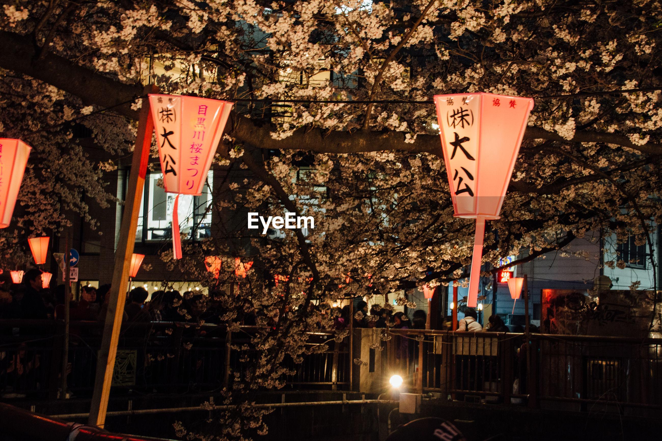 Illuminated lantern against cherry blossom tree at night