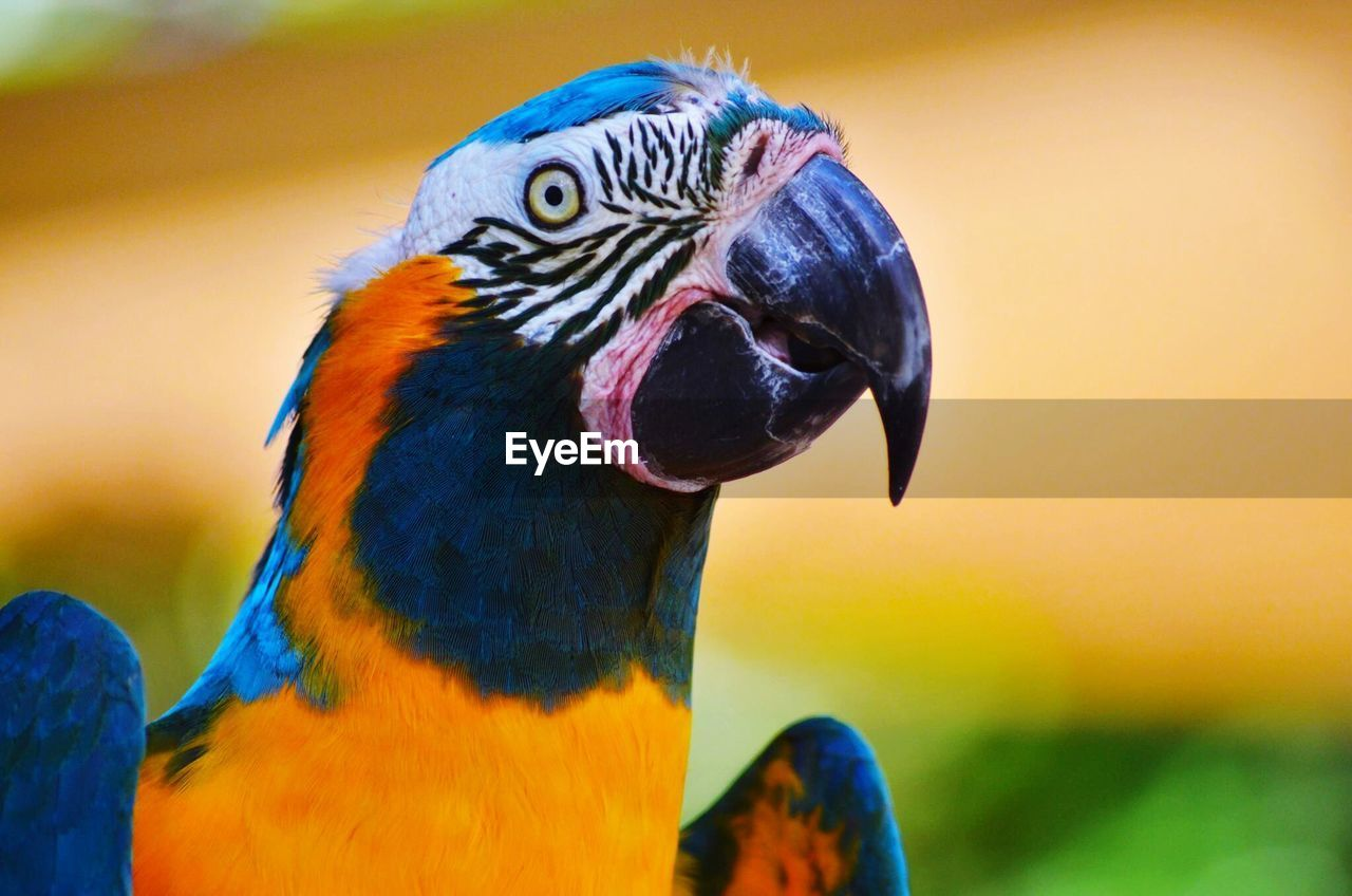 bird, animal themes, animals in the wild, one animal, focus on foreground, animal wildlife, parrot, gold and blue macaw, close-up, macaw, beak, multi colored, no people, day, outdoors, nature, beauty in nature, rainbow lorikeet