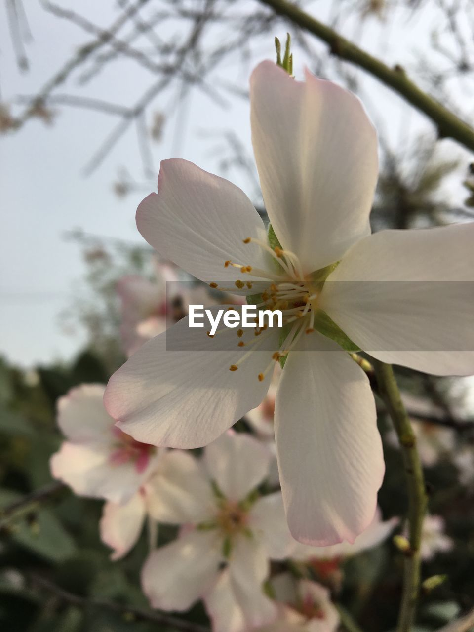 flowering plant, plant, flower, fragility, vulnerability, petal, growth, freshness, beauty in nature, close-up, inflorescence, flower head, focus on foreground, blossom, pollen, nature, white color, no people, botany, tree, springtime, outdoors, cherry blossom