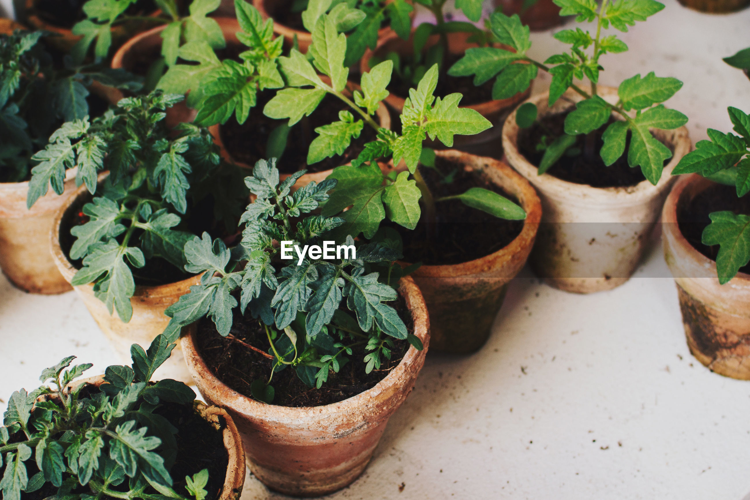 High angle view of potted tomato plants