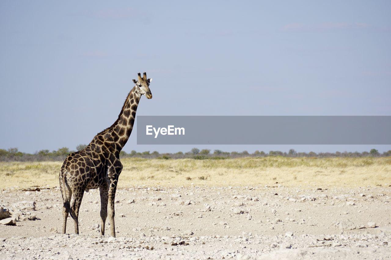 Giraffe standing on field against clear blue sky