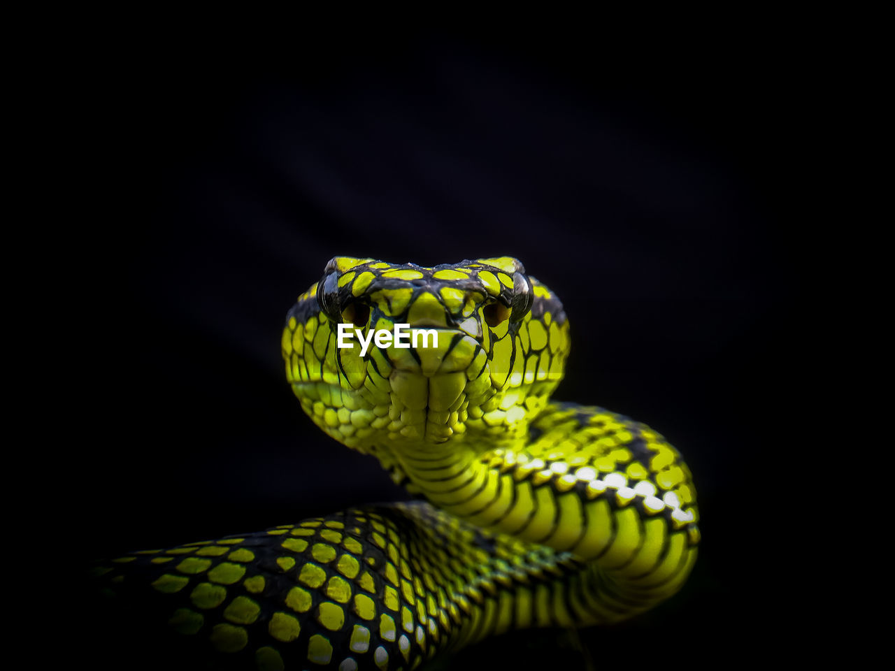 one animal, black background, animal themes, close-up, animal wildlife, studio shot, animal, snake, animals in the wild, copy space, reptile, vertebrate, indoors, no people, green color, focus on foreground, yellow, nature, pattern, animal body part, animal head, animal eye