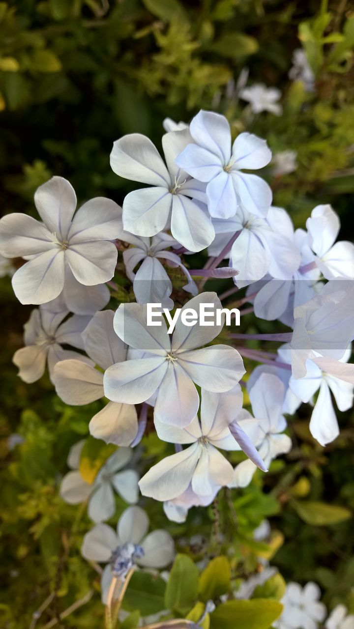 flower, beauty in nature, white color, nature, petal, fragility, growth, day, focus on foreground, no people, blooming, plant, outdoors, freshness, flower head, close-up, periwinkle