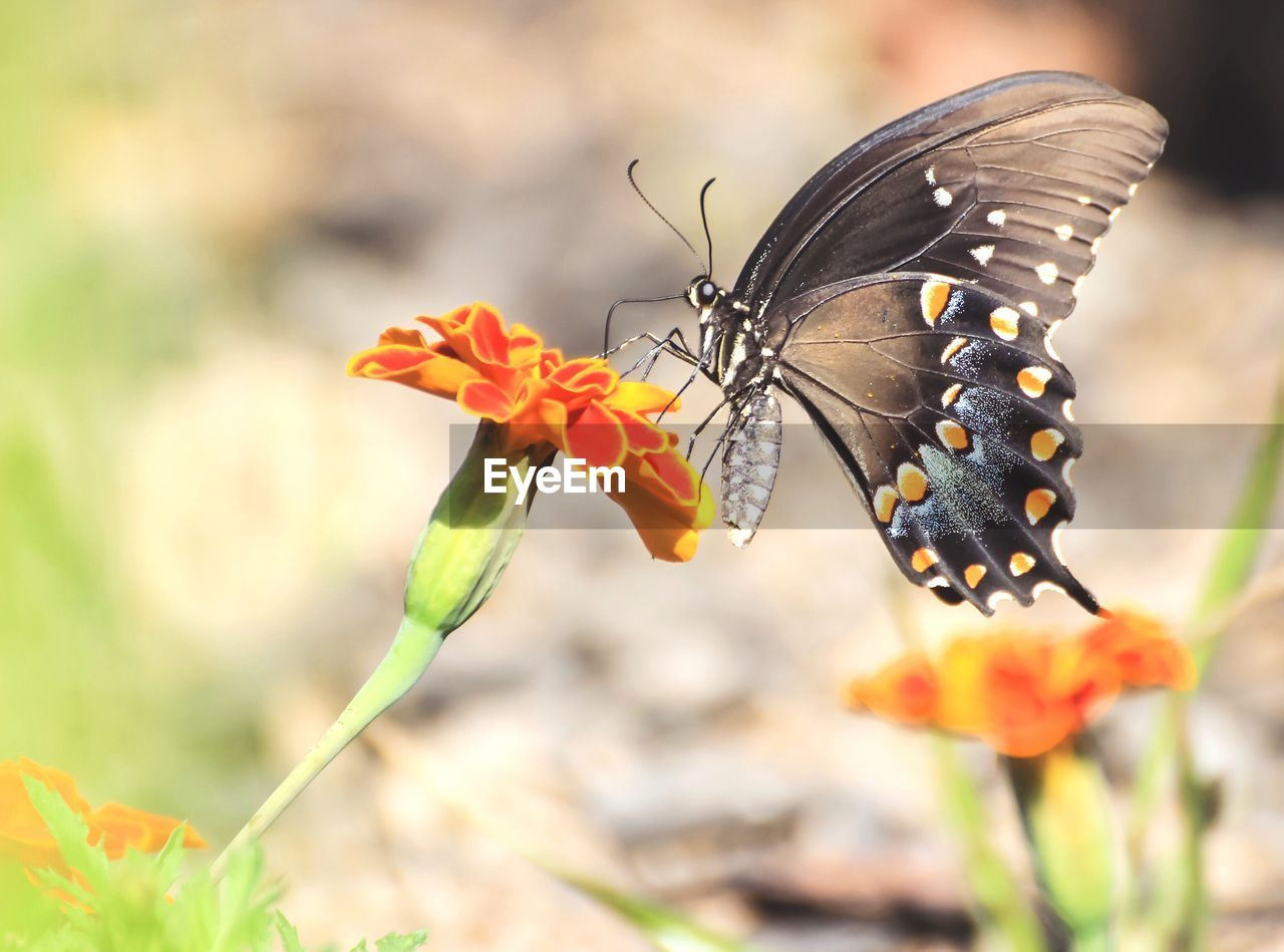 flower, flowering plant, animal wildlife, animals in the wild, invertebrate, insect, one animal, animal themes, plant, vulnerability, fragility, beauty in nature, animal, flower head, animal wing, butterfly - insect, close-up, freshness, petal, focus on foreground, pollination, no people, outdoors, butterfly, pollen