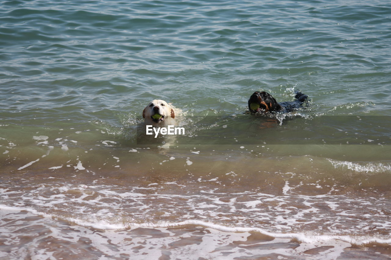 water, animal themes, animal, waterfront, canine, vertebrate, dog, one animal, swimming, pets, domestic, mammal, domestic animals, day, motion, nature, sea, no people, outdoors