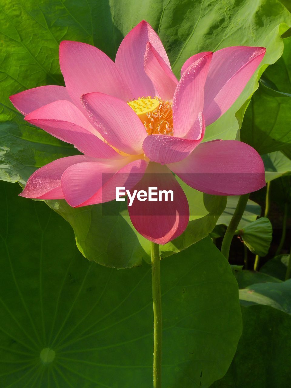 flower, petal, leaf, nature, growth, beauty in nature, plant, fragility, pink color, flower head, freshness, no people, green color, blooming, day, close-up, outdoors, lotus water lily