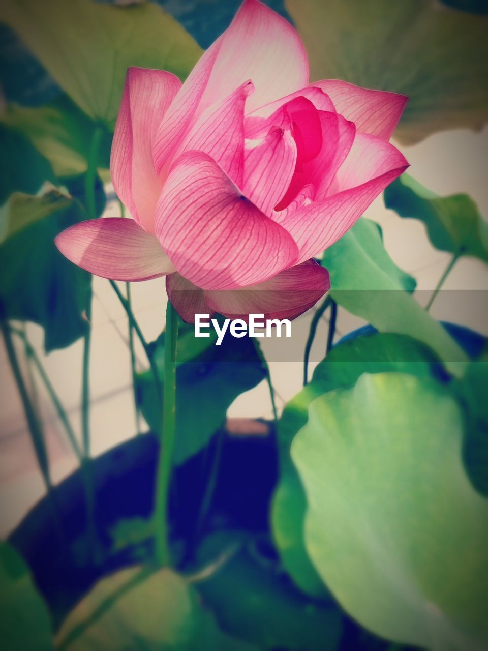 petal, flower, beauty in nature, fragility, growth, flower head, nature, plant, freshness, pink color, leaf, no people, close-up, day, blooming, outdoors, periwinkle