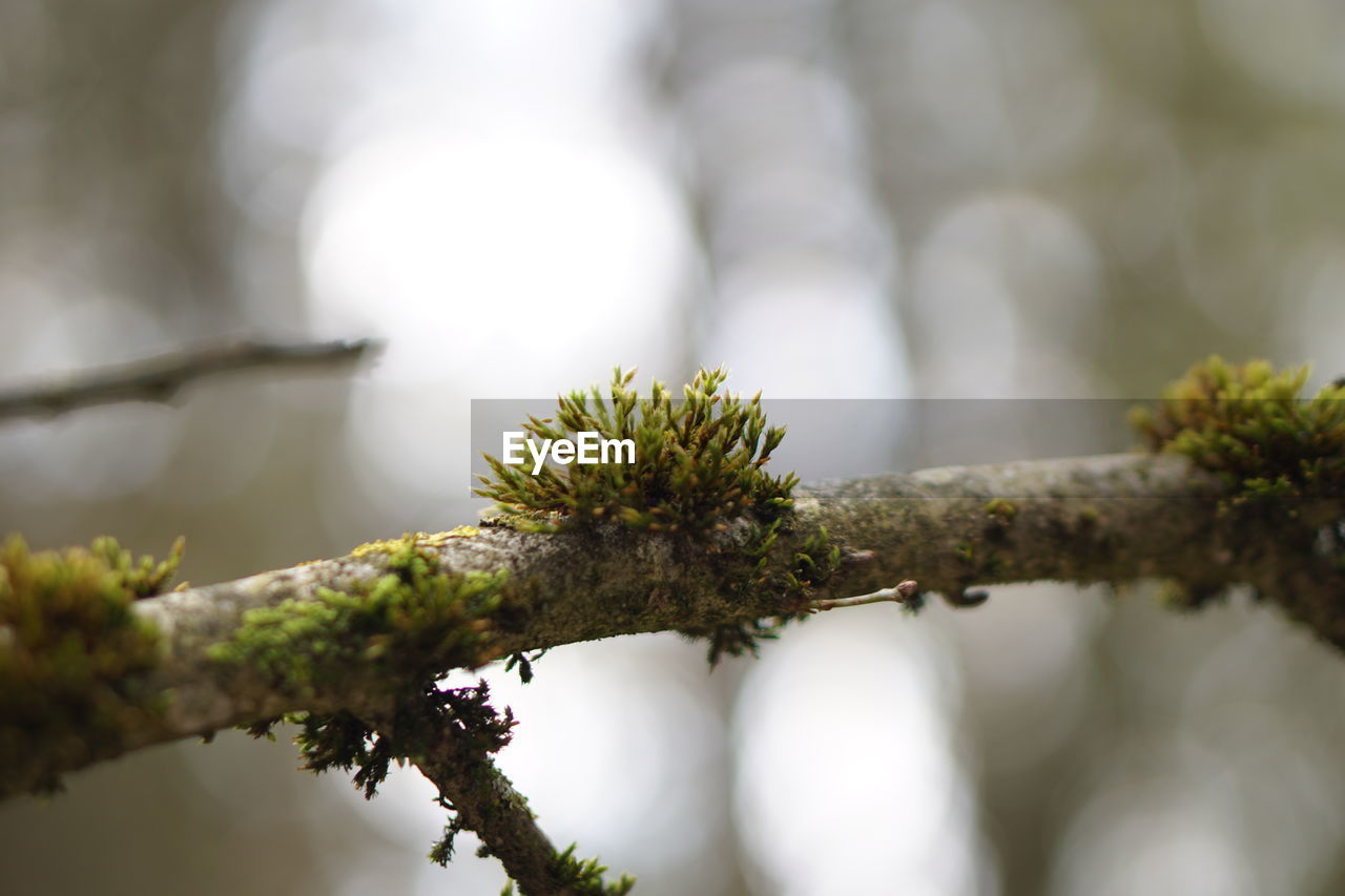 CLOSE-UP OF LICHEN GROWING ON TREE
