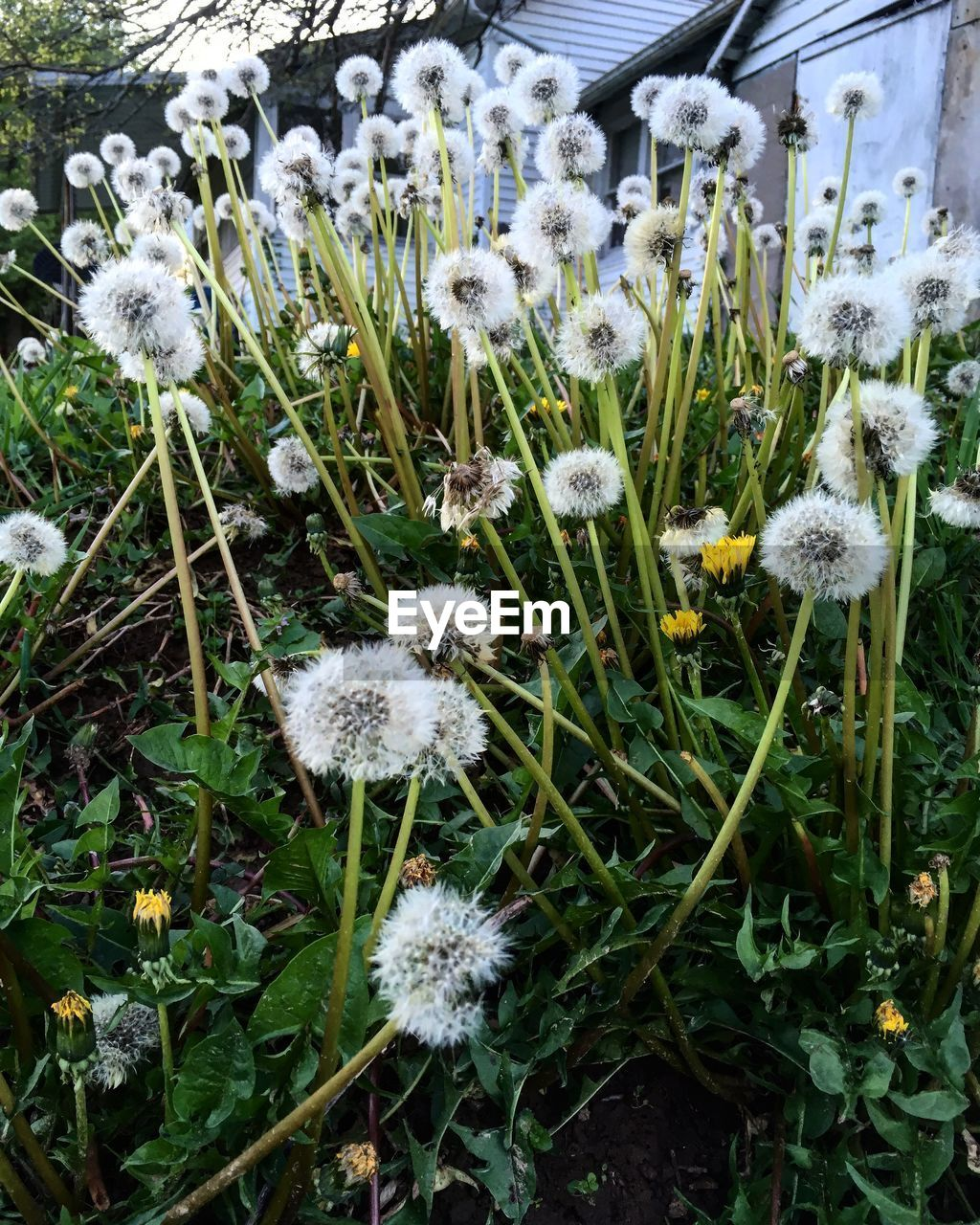 flower, plant, flowering plant, fragility, vulnerability, growth, beauty in nature, freshness, field, nature, flower head, land, inflorescence, close-up, white color, petal, no people, dandelion, day, plant stem, outdoors, softness