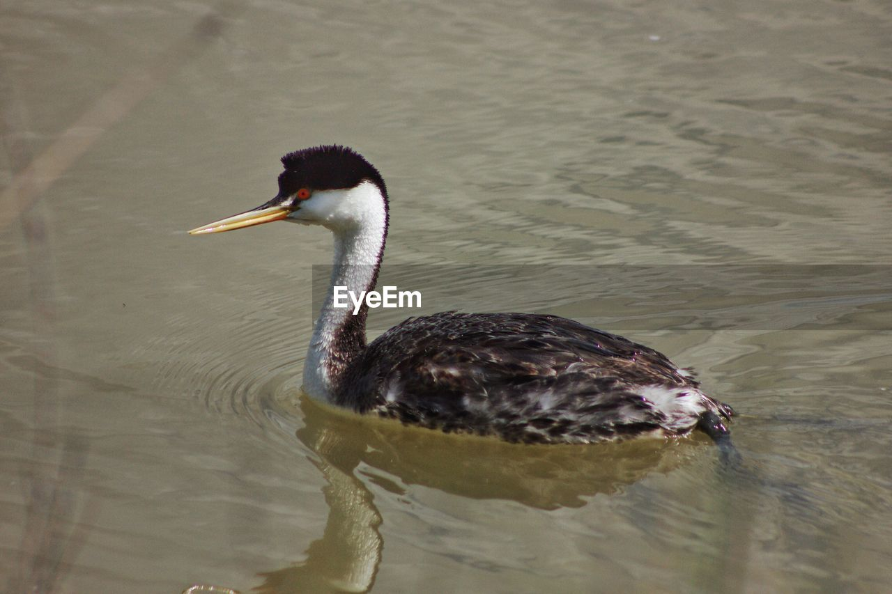 Birds in calm water