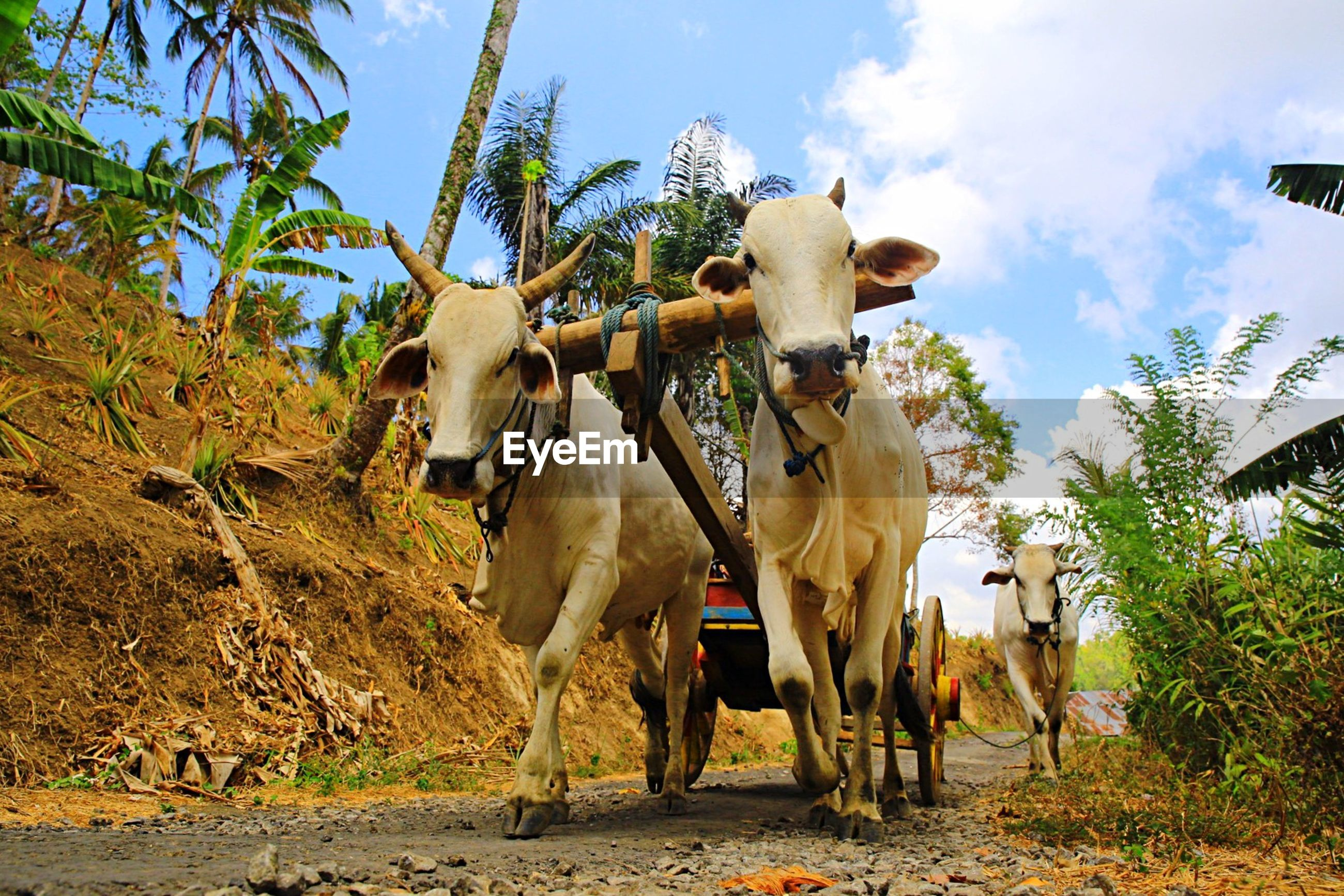 Low angle view of cow cart on street