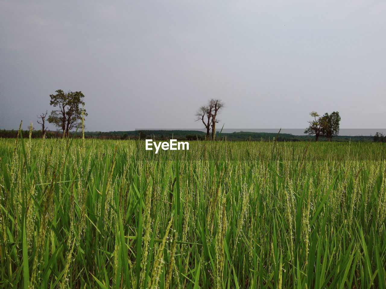 plant, growth, field, land, landscape, agriculture, green color, rural scene, sky, beauty in nature, tranquility, environment, crop, tree, tranquil scene, scenics - nature, nature, farm, cereal plant, day, no people, outdoors, plantation