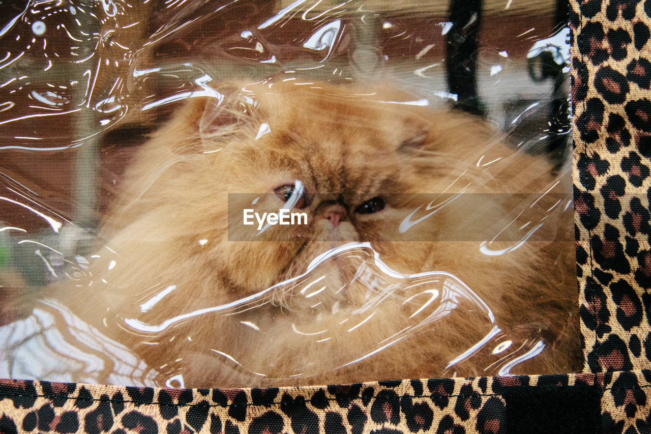 Close-Up Of Hairy Cat Trapped In Plastic Bag