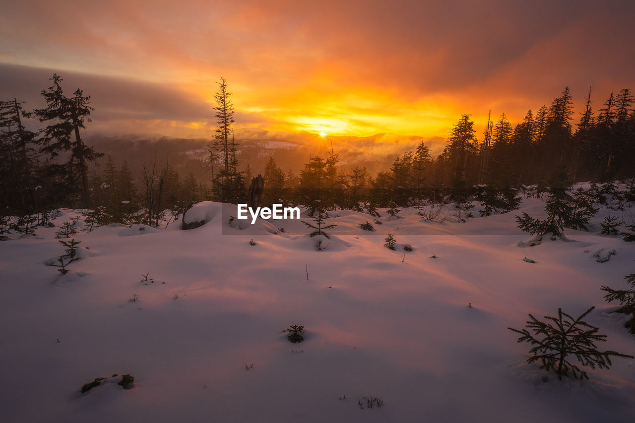 SNOW COVERED PLANTS AGAINST ORANGE SKY