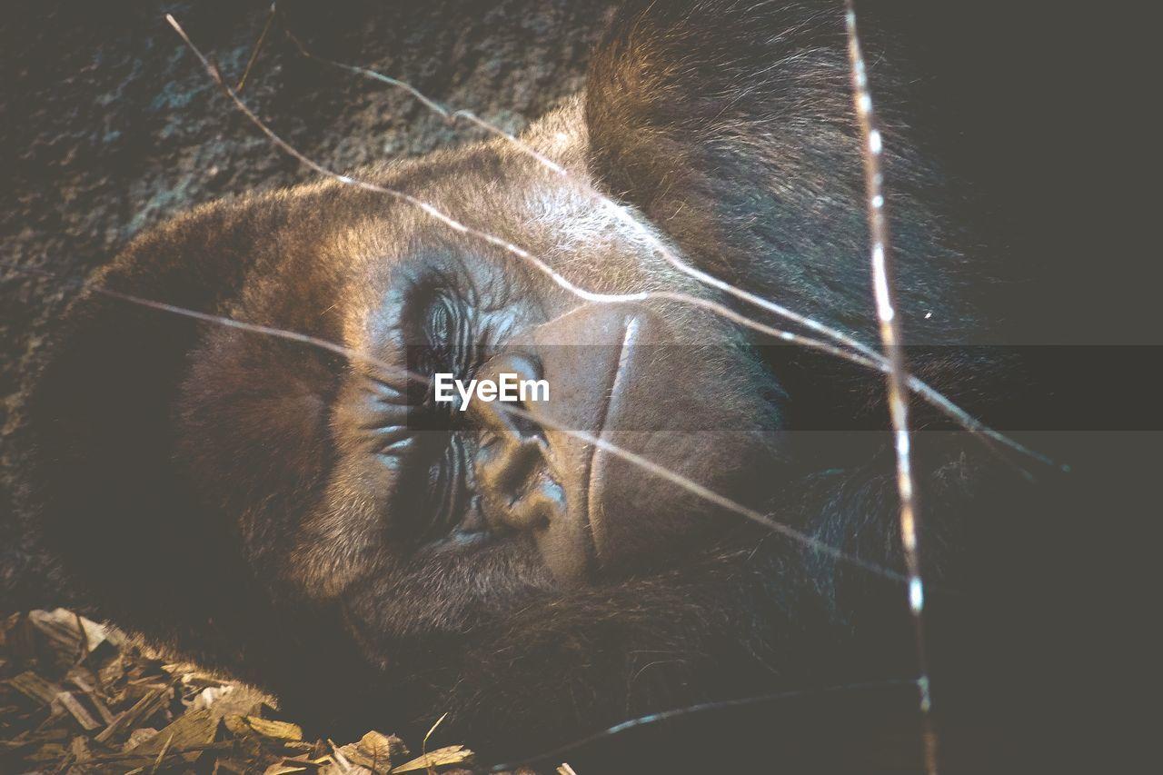 Close-Up Of Gorilla Sleeping Outdoors
