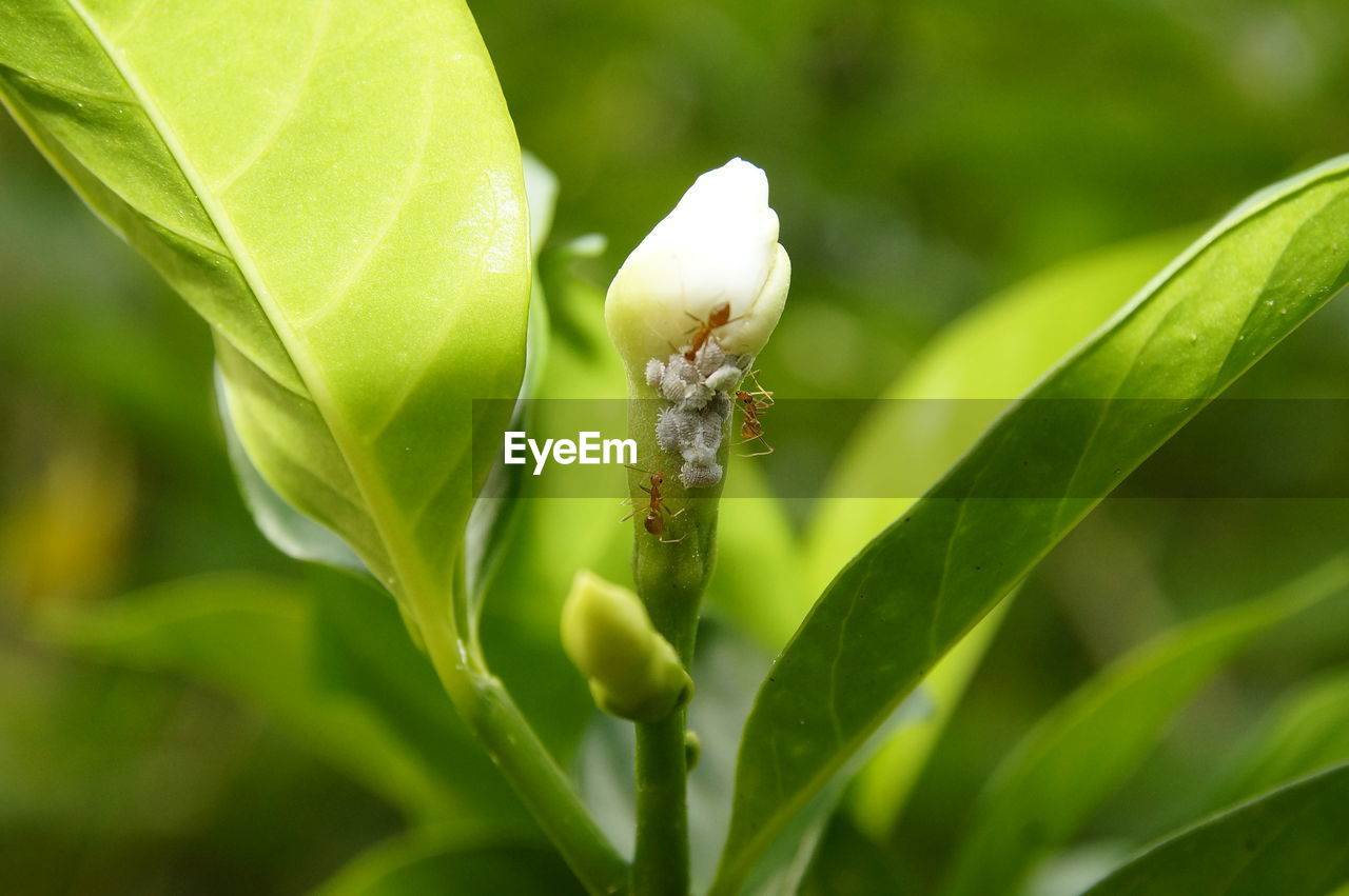 CLOSE-UP OF GREEN INSECT ON PLANT