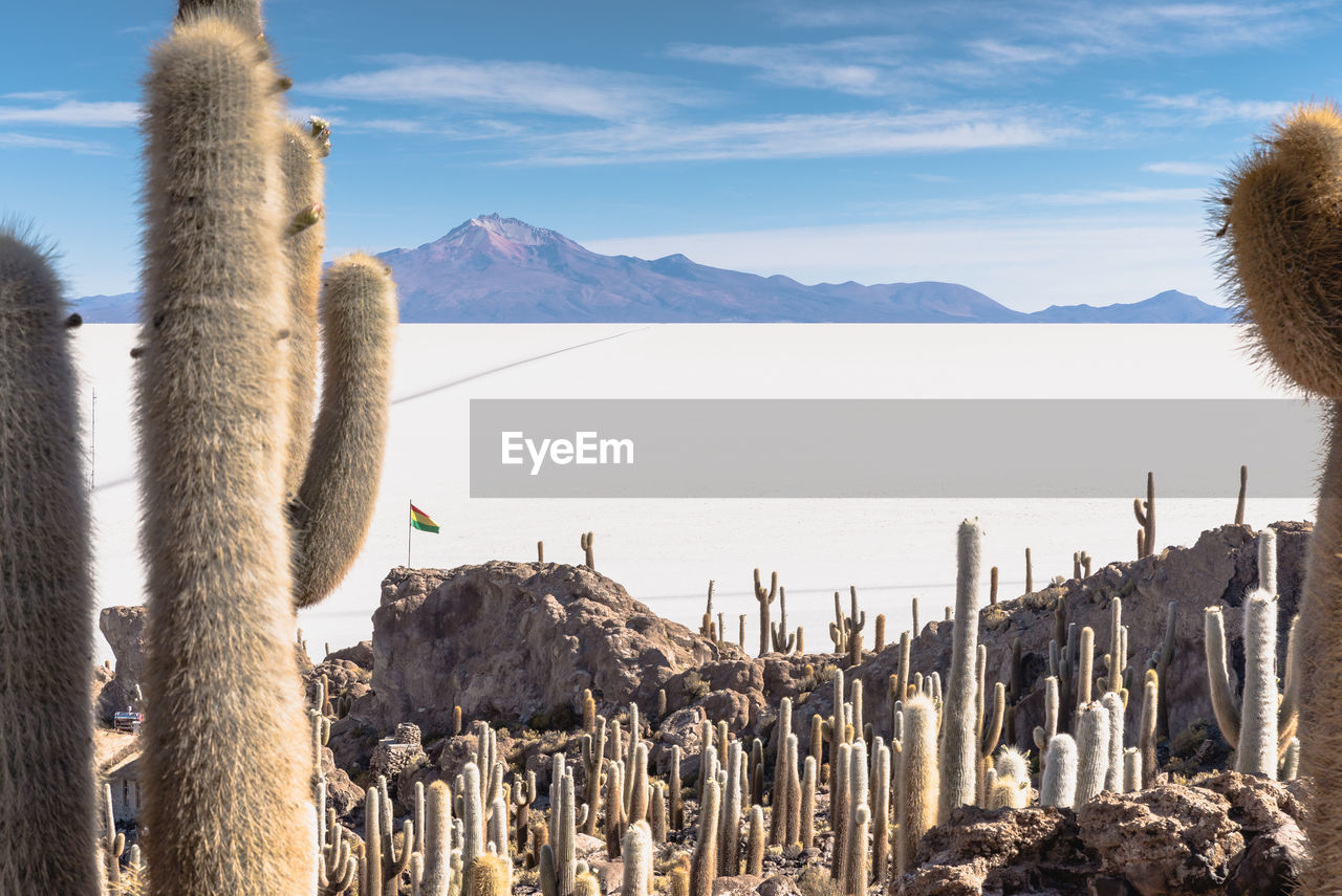 Cacti Growing On Rocks Against Snow Covered Landscape