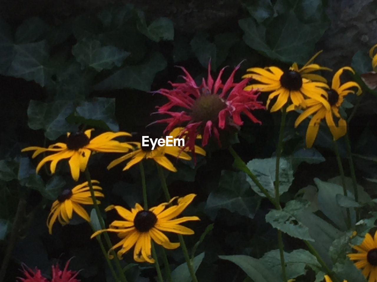 flower, petal, fragility, freshness, growth, yellow, flower head, beauty in nature, blooming, nature, plant, no people, pollen, black-eyed susan, outdoors, day, close-up, zinnia