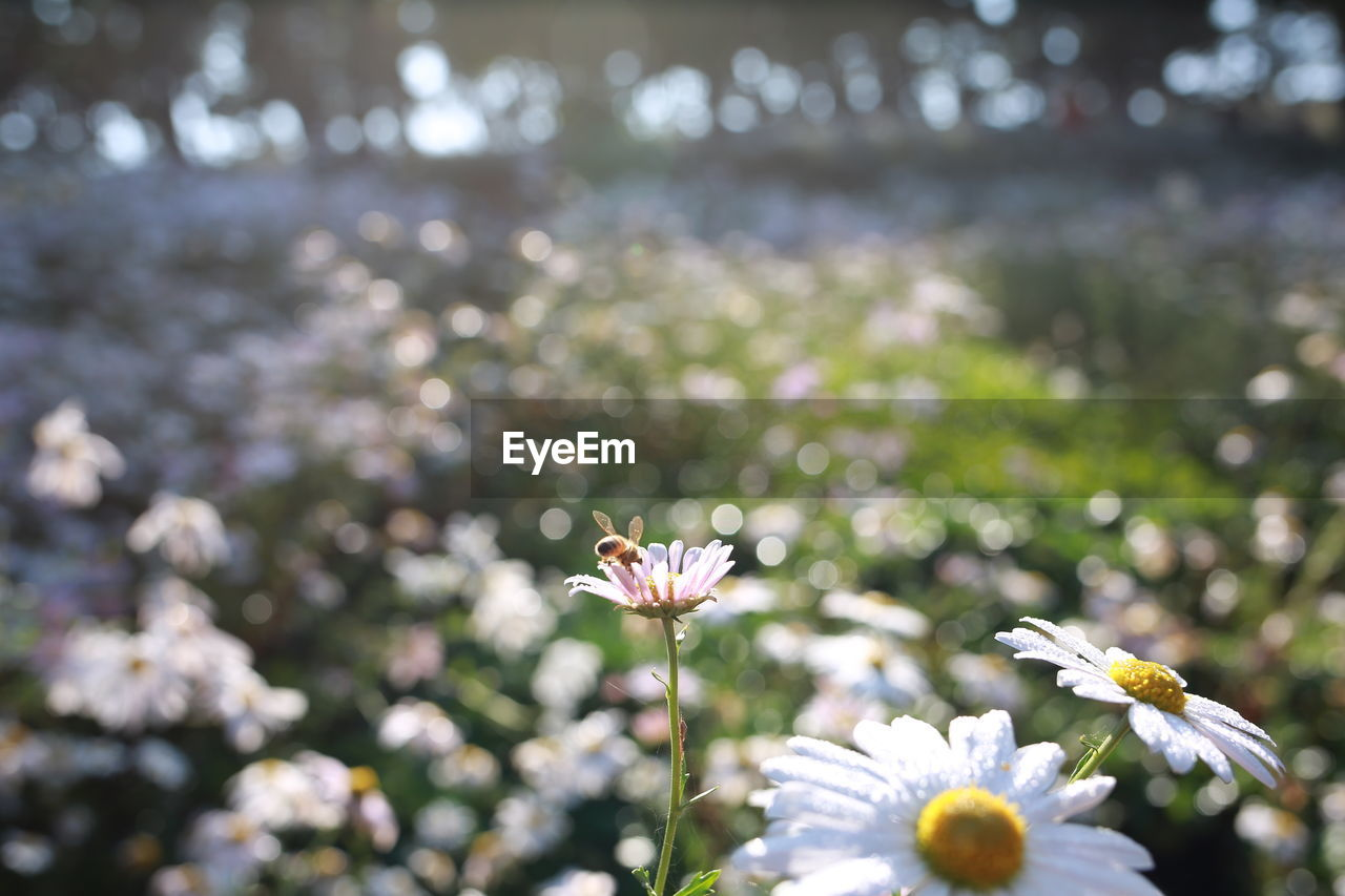 flowering plant, freshness, flower, plant, growth, vulnerability, beauty in nature, fragility, flower head, petal, inflorescence, close-up, day, white color, nature, no people, focus on foreground, selective focus, outdoors, sunlight, pollen
