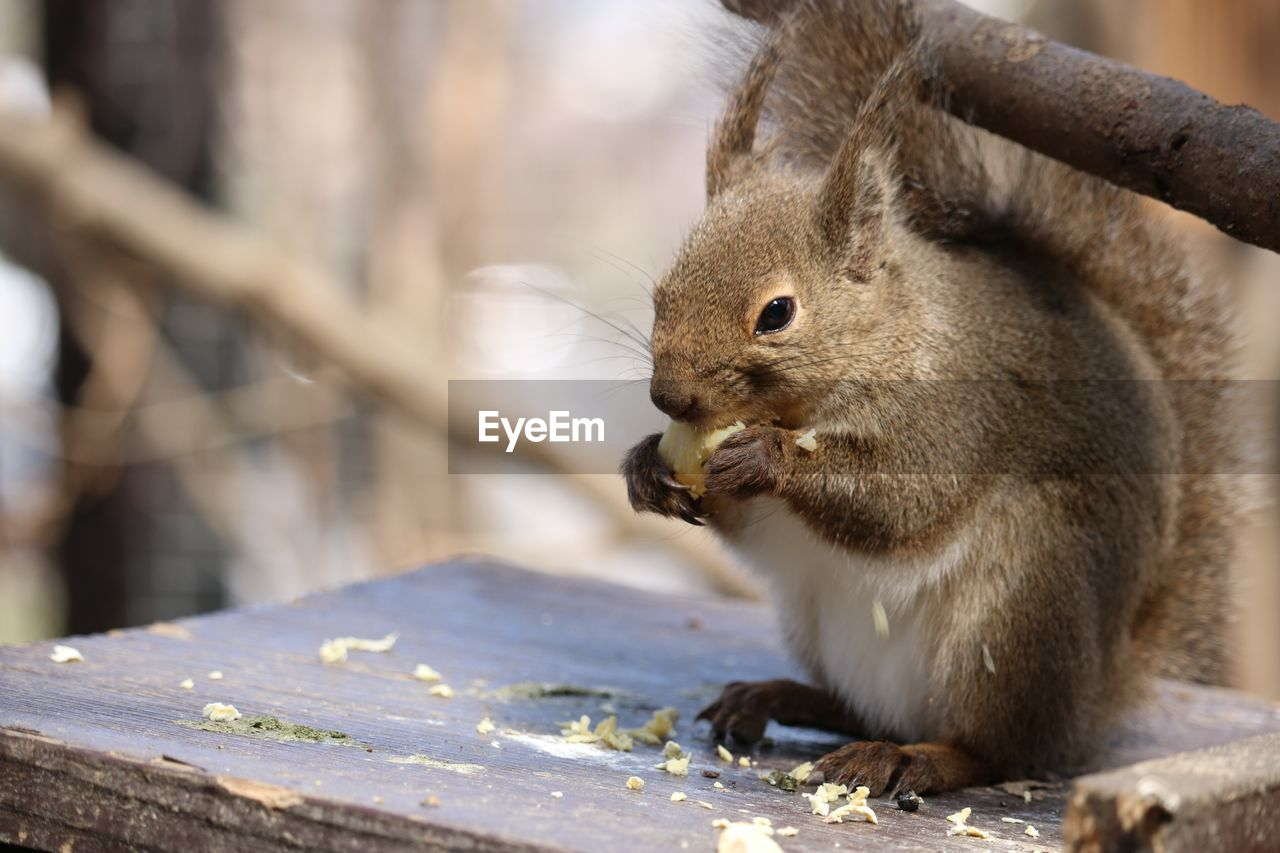 animal, animal wildlife, animal themes, animals in the wild, one animal, mammal, rodent, eating, focus on foreground, squirrel, no people, vertebrate, food, close-up, food and drink, day, nature, wood - material, outdoors, sunlight, whisker
