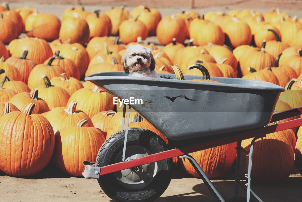 View of dog in wheelbarrow