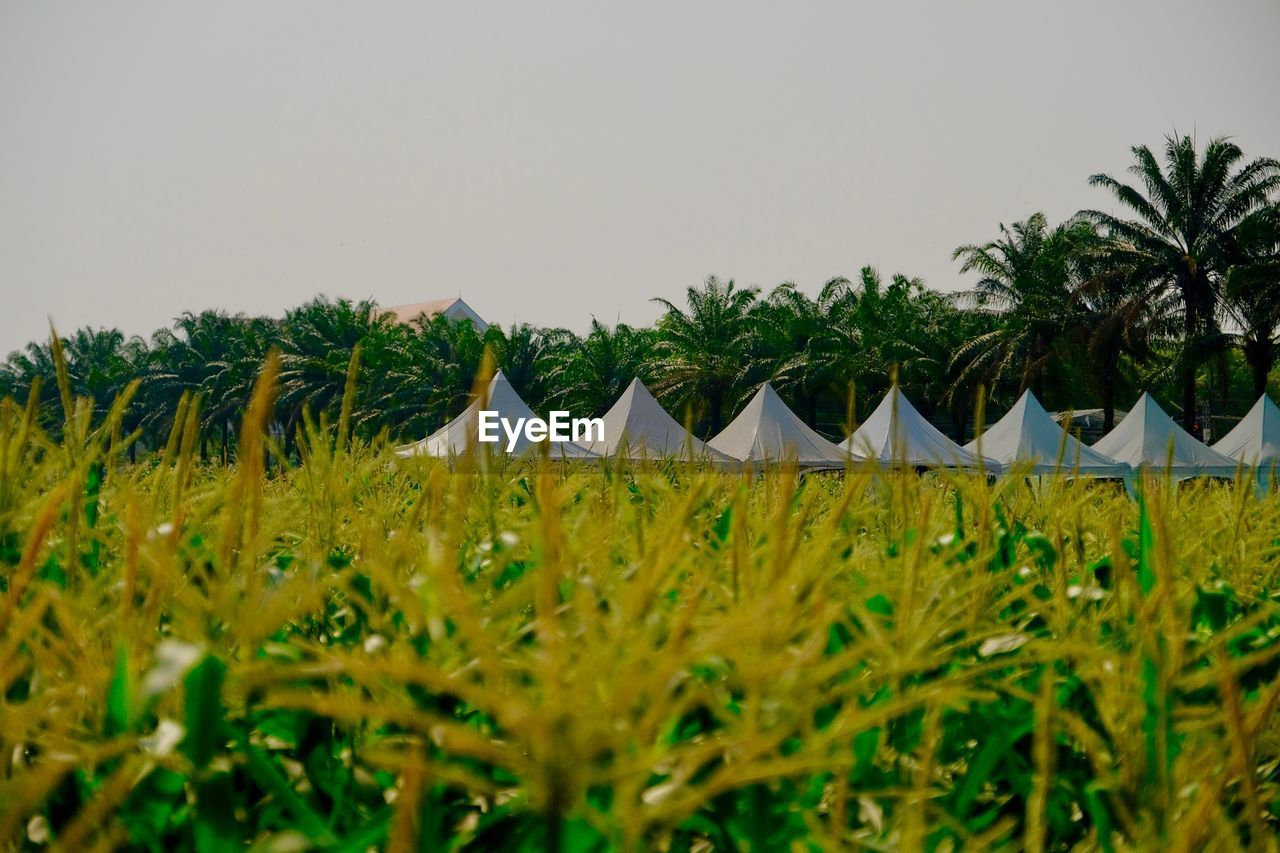 plant, growth, sky, tree, land, nature, beauty in nature, green color, tranquil scene, tranquility, field, day, palm tree, no people, clear sky, landscape, scenics - nature, tropical climate, copy space, in a row, outdoors