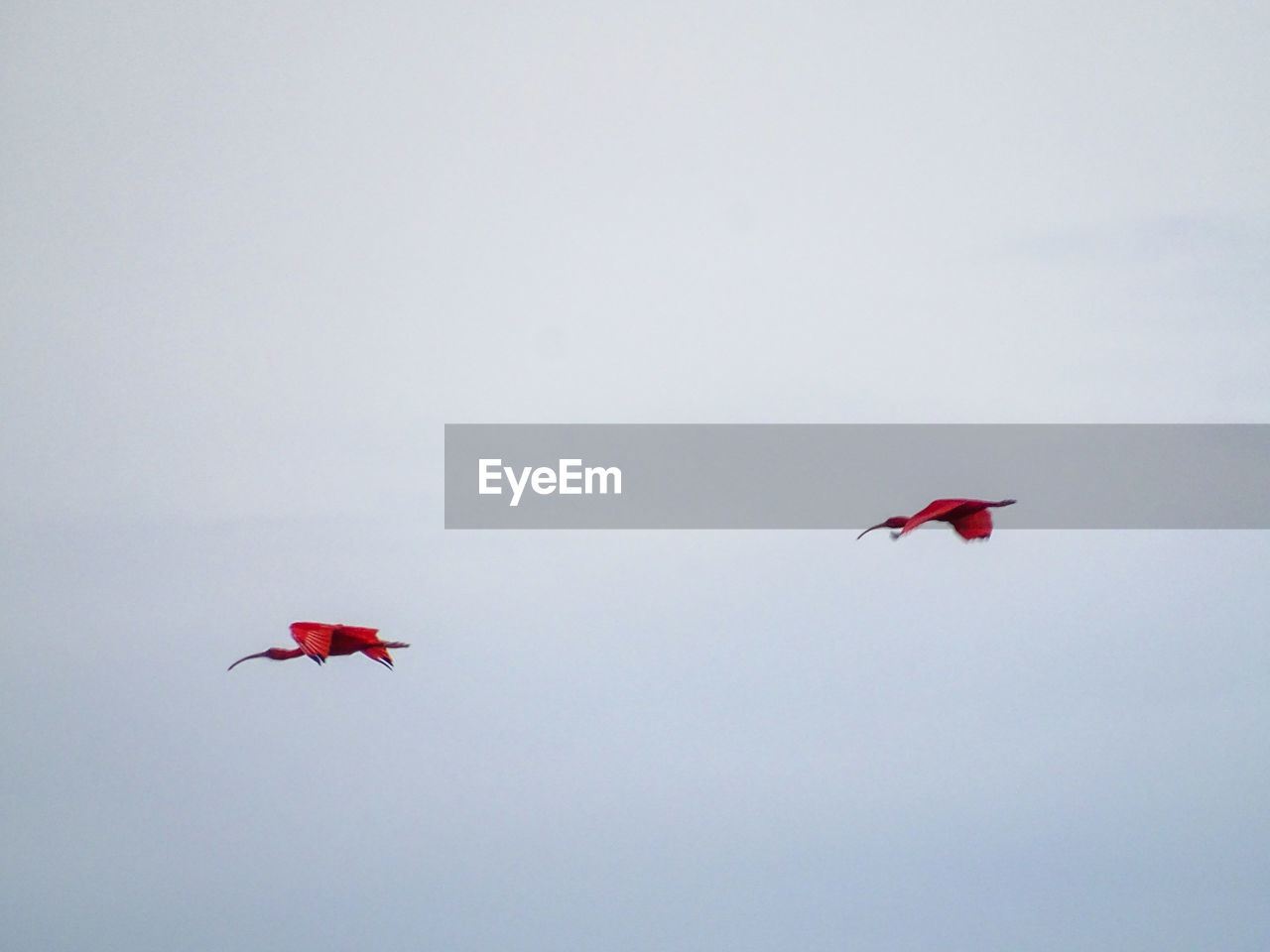 flying, red, sky, animal themes, vertebrate, mid-air, bird, animal, animal wildlife, animals in the wild, low angle view, no people, copy space, group of animals, day, motion, nature, clear sky, outdoors, two animals